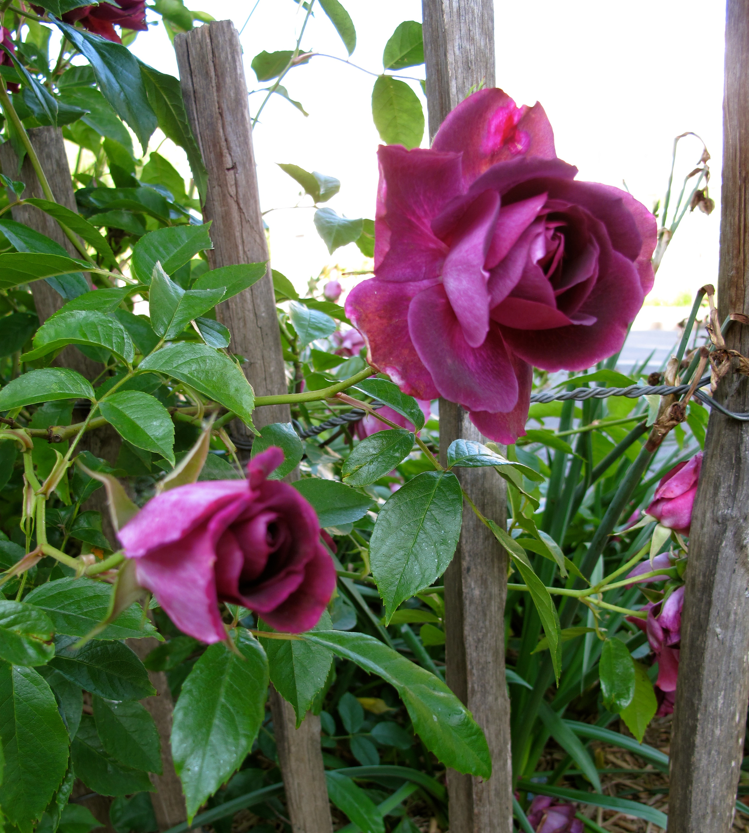 Purple roses in a French garden in Beauvais