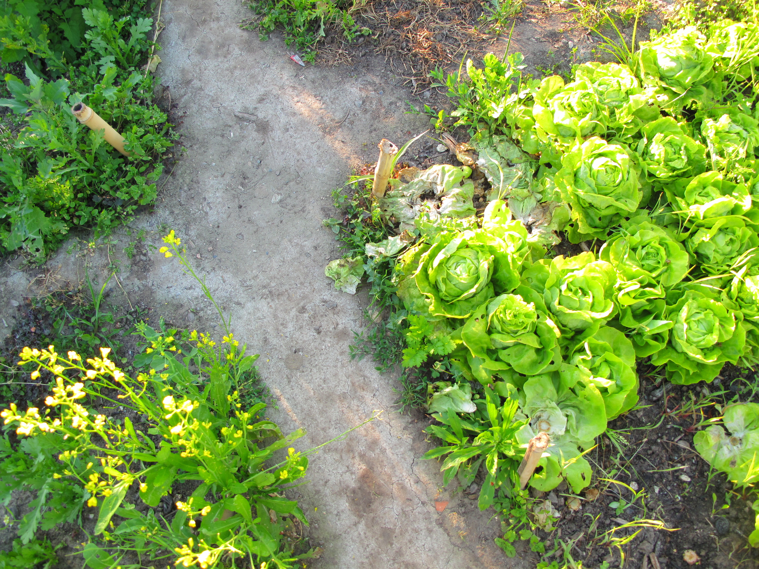 Paths between the lettuces at Plum Village