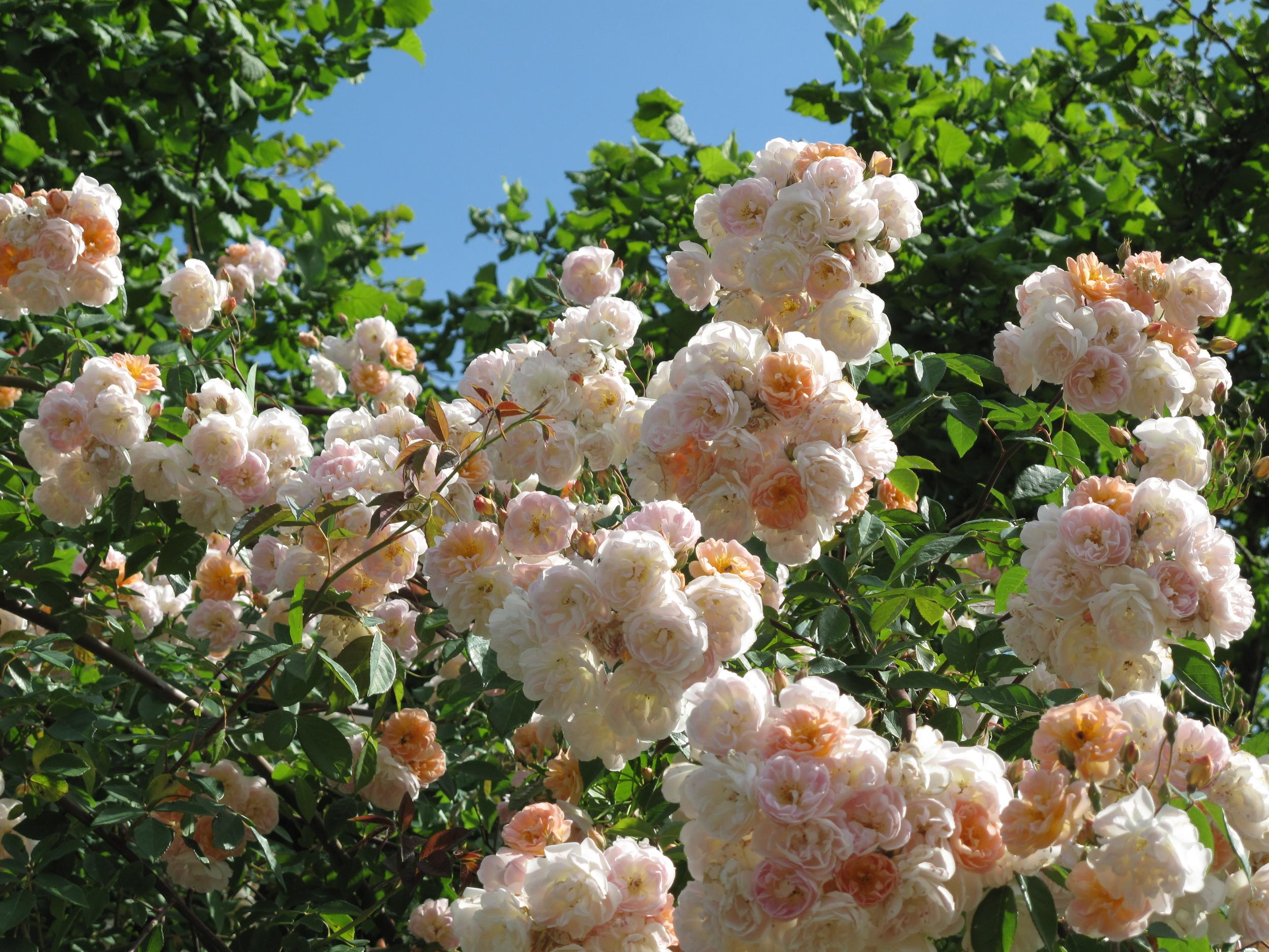 Jardin de Boissonna - rose bushes