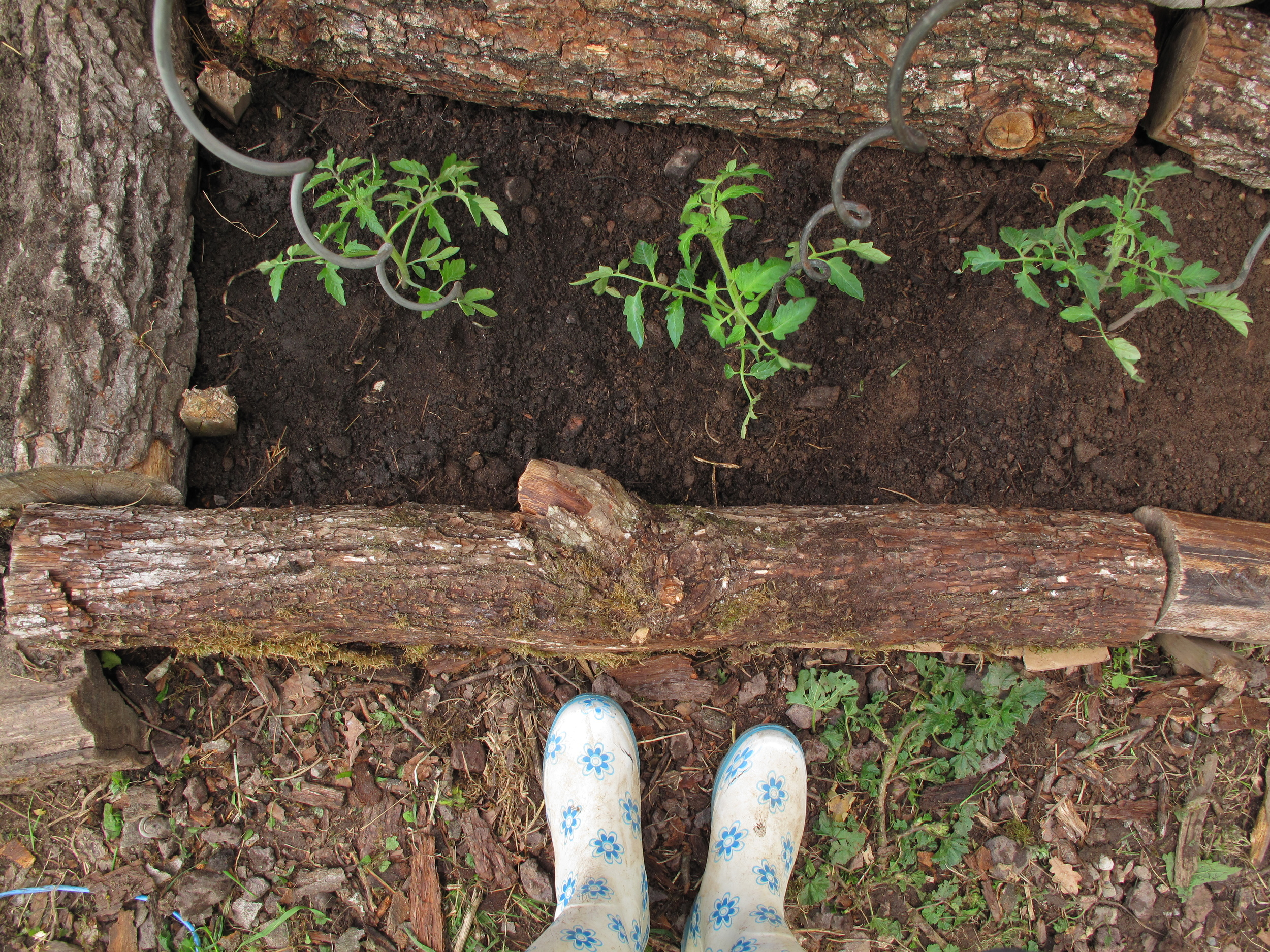 Trench for the tomatoes and gumboots