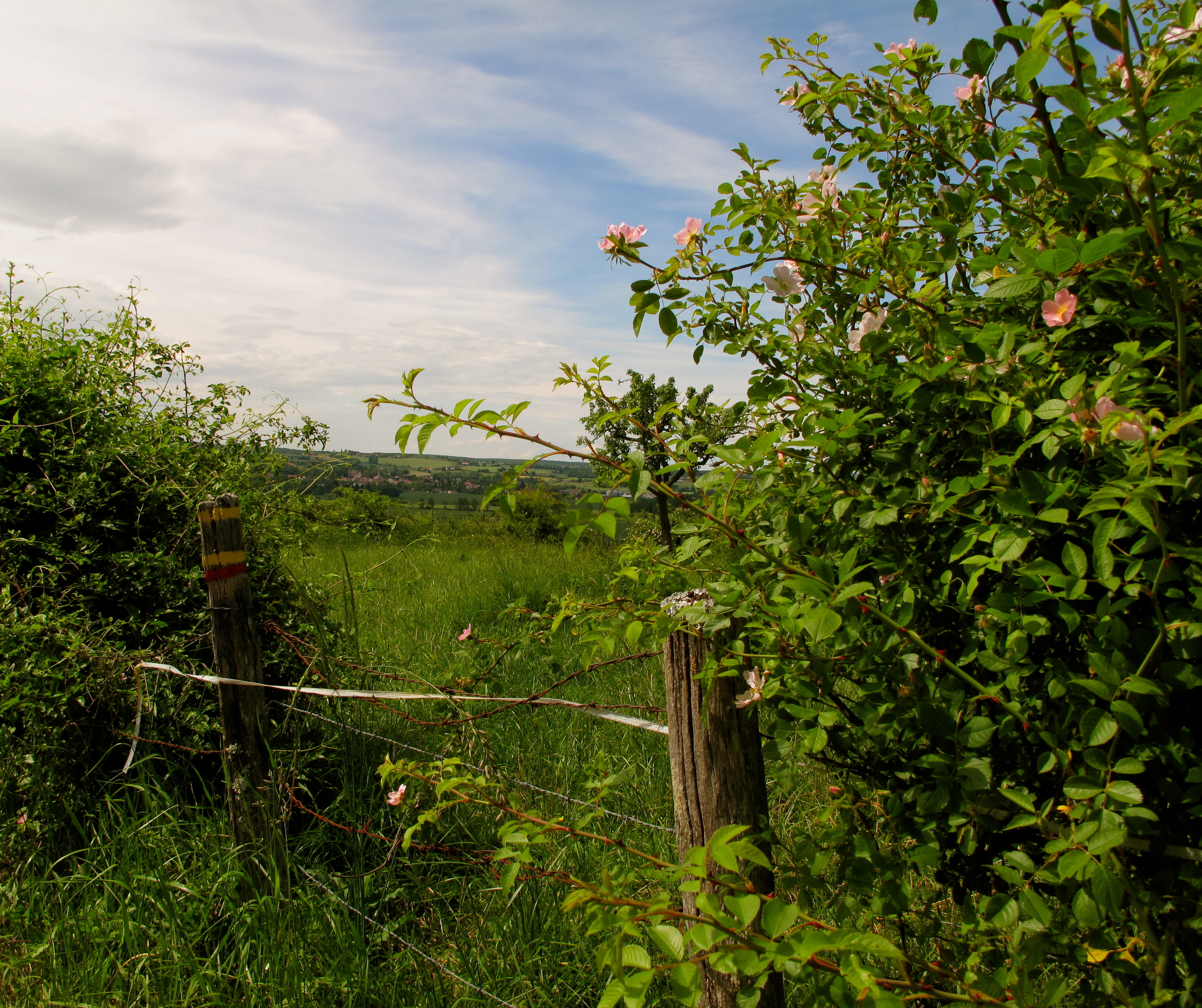 A wild rose bush on a dusty lane in the French countryside