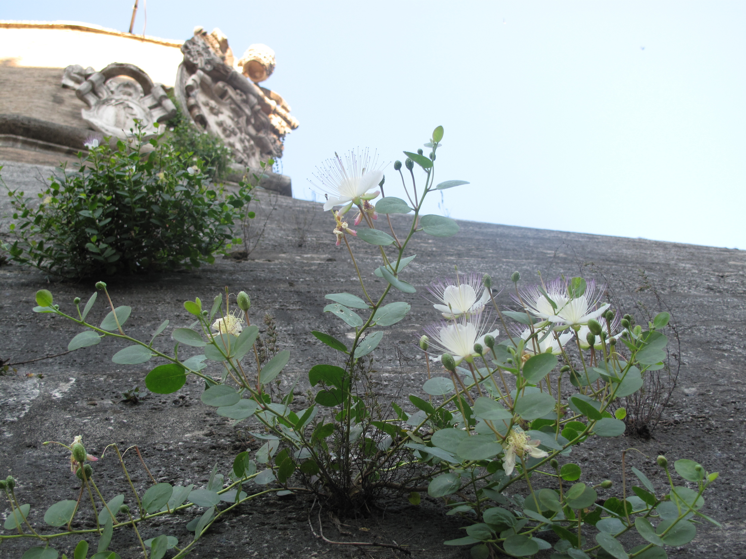 flowers growing on the Vatican wall