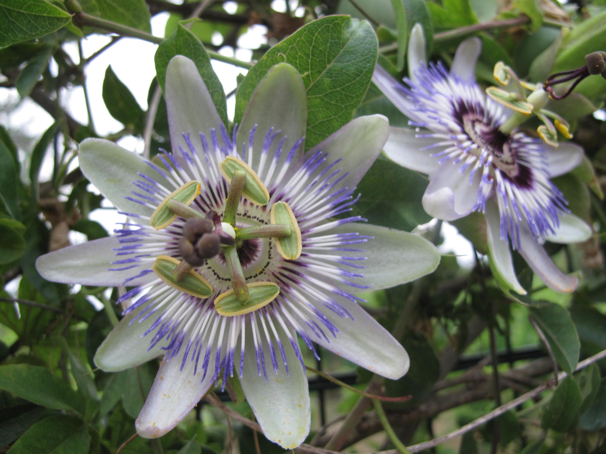 Passionfruit flowers on Capri