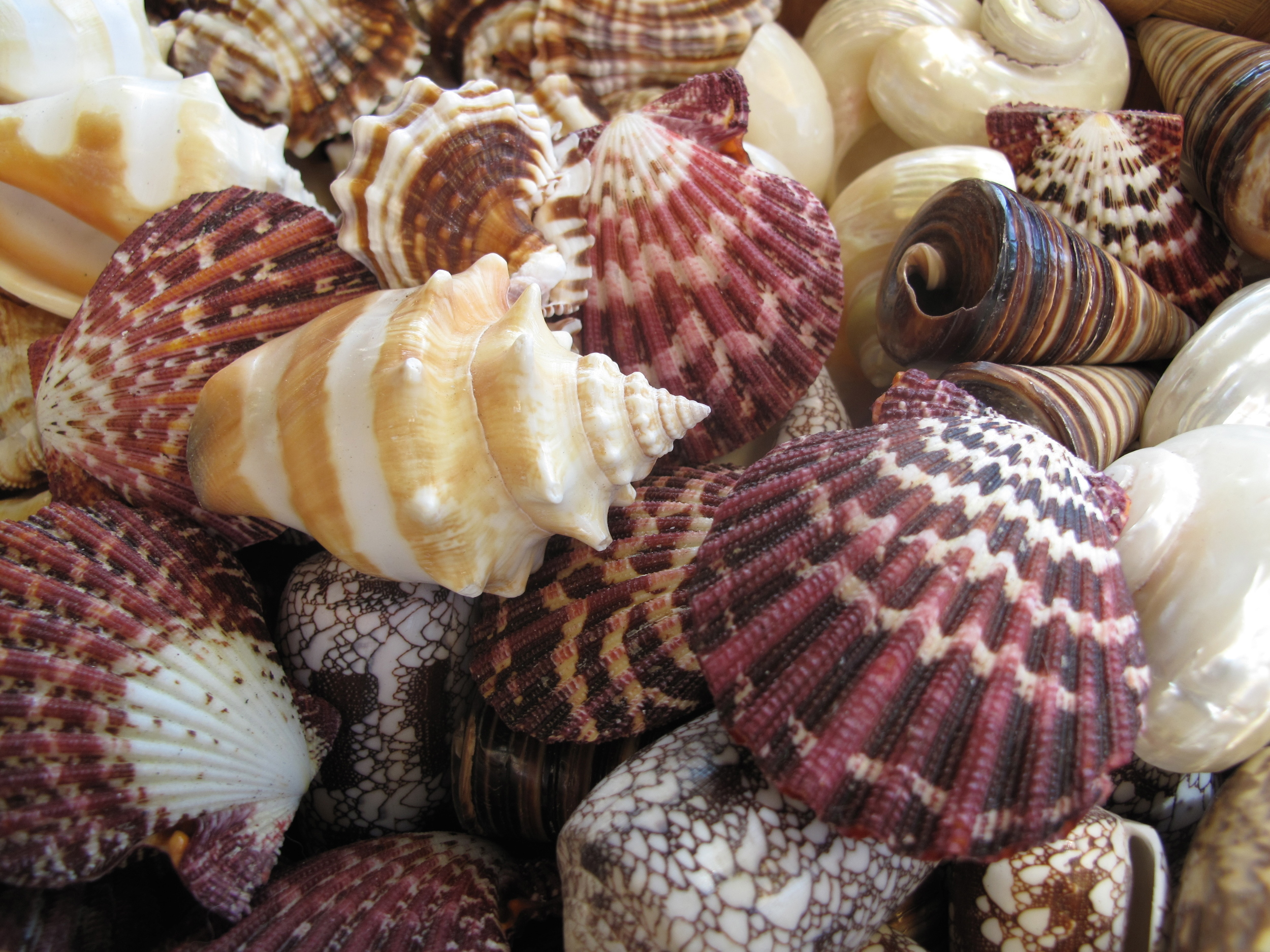 Seashells being sold on Capri island