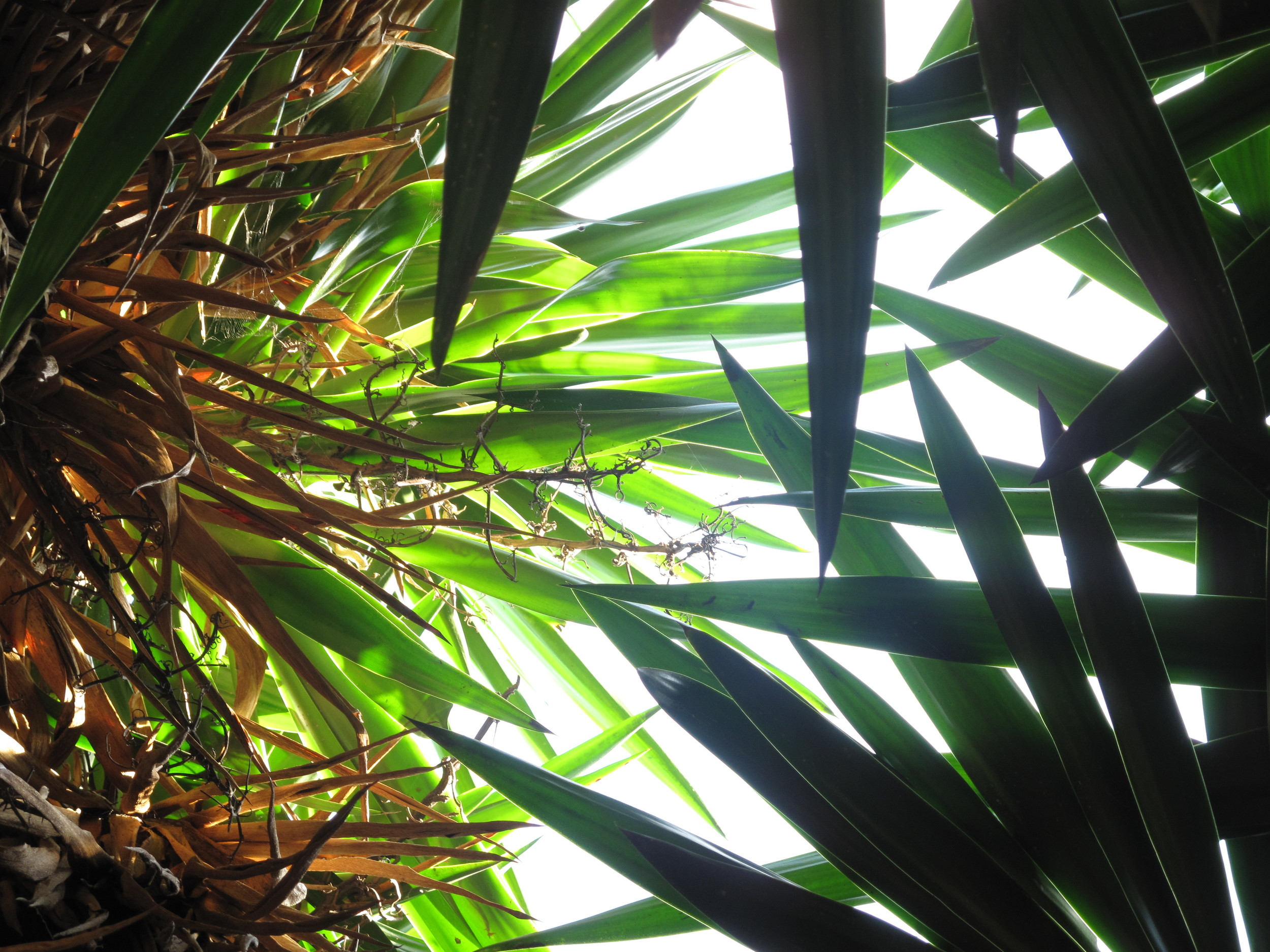 Looking up at the palm fronds and sky from my hammock position