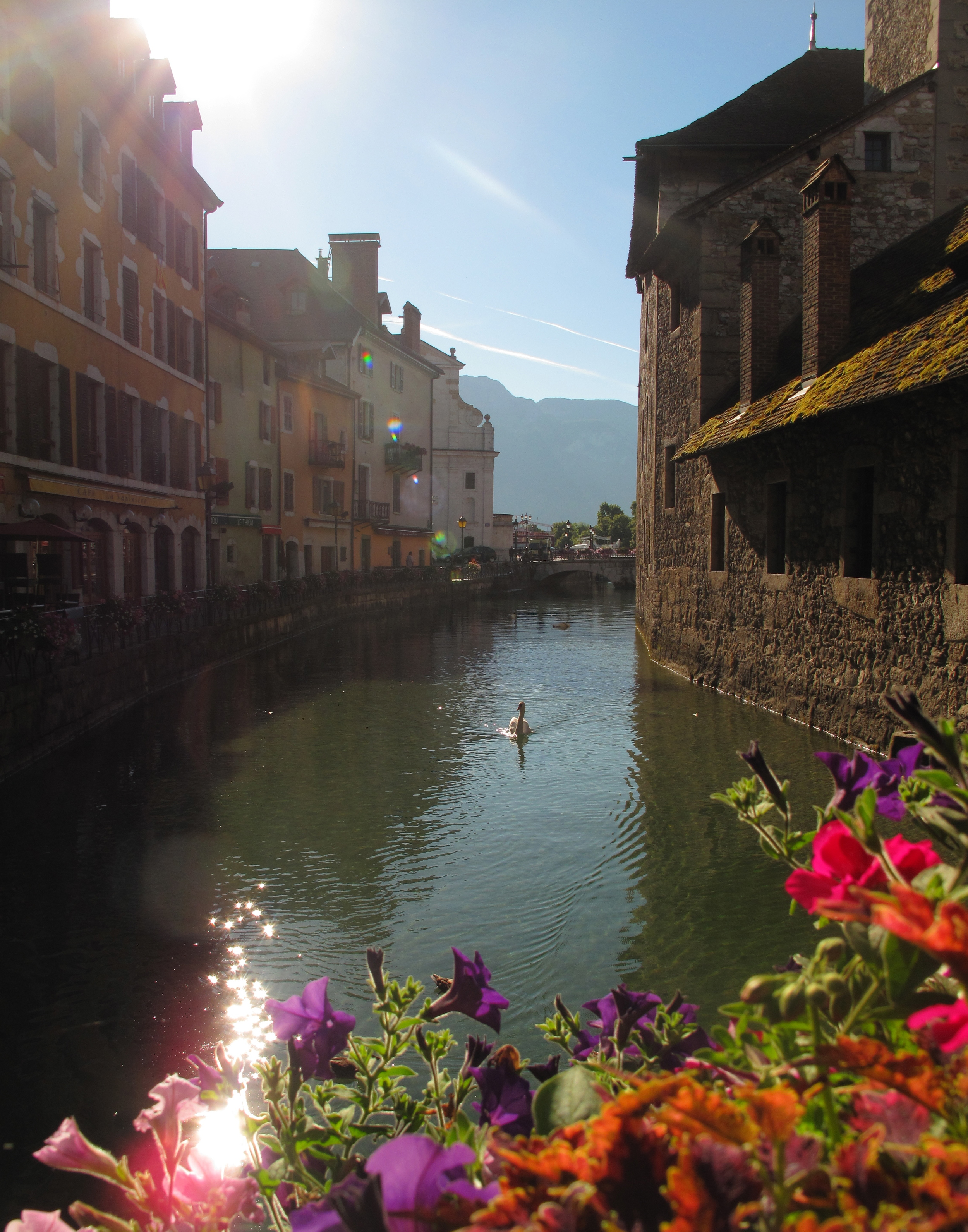 A swan on the canals of Annecy, in Summer time.