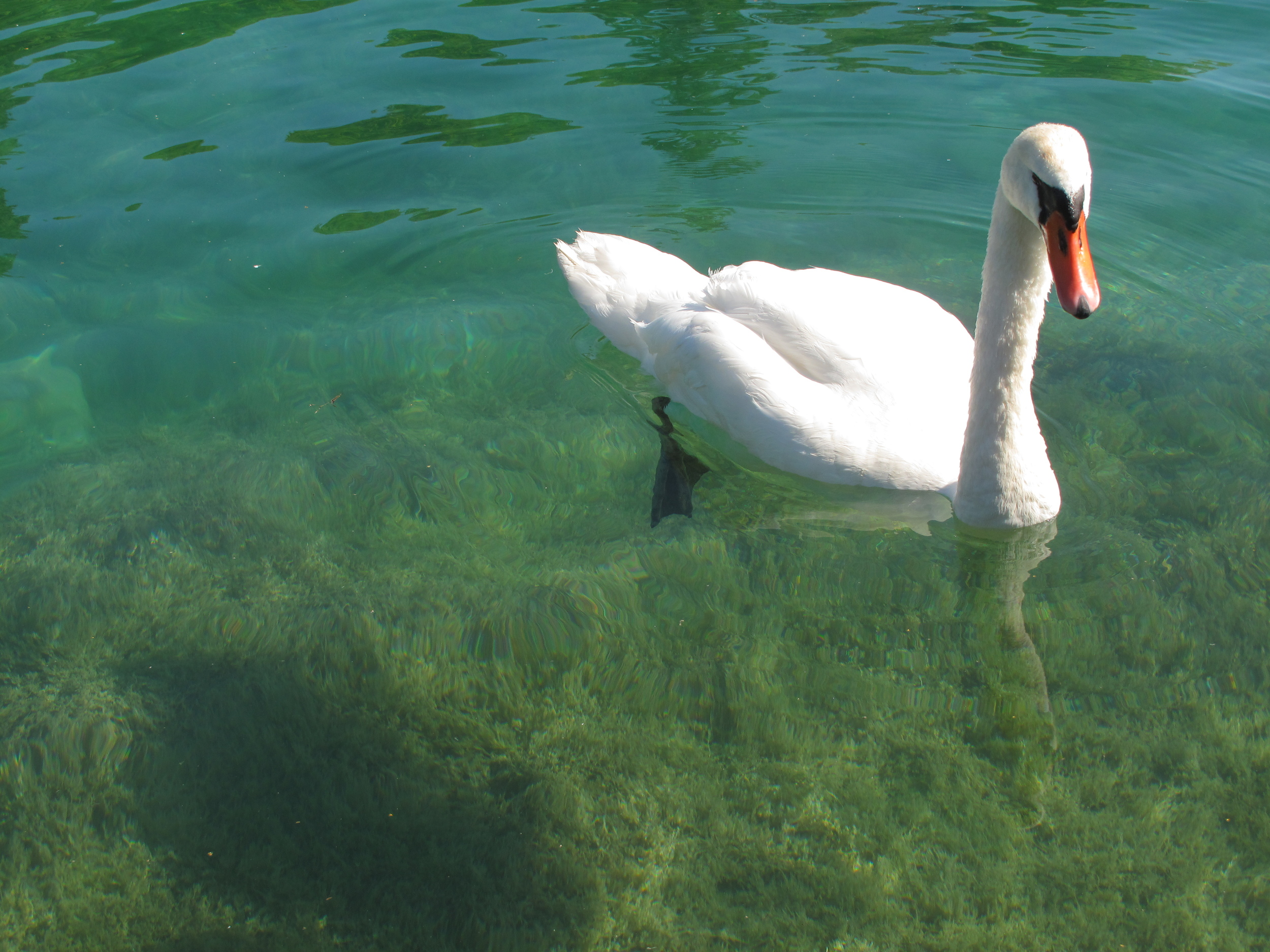 A white swan on the clear waters of lake Annecy