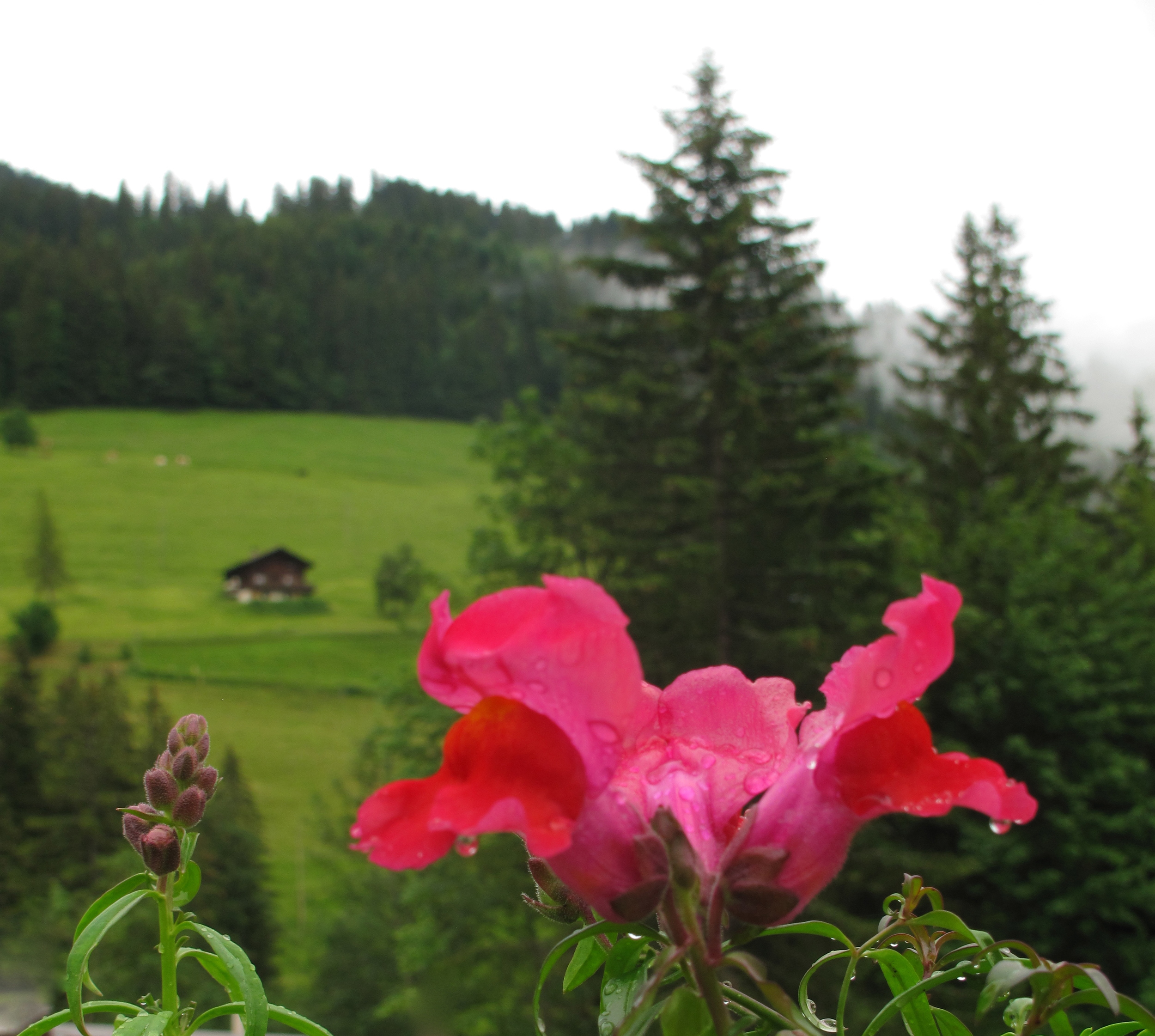 A little swiss chalet and a pink flower in the mountains of switzerland