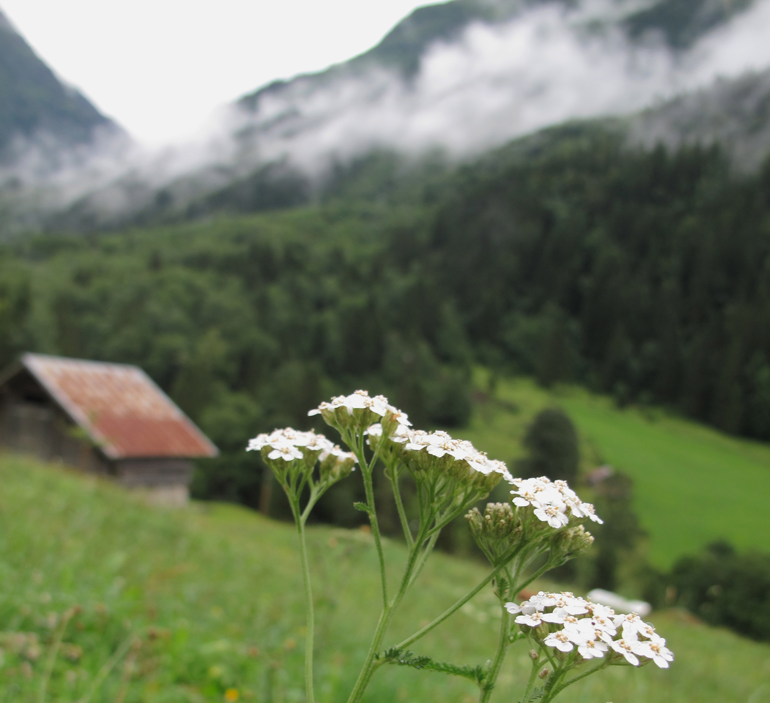 In the mountains of switzerland, with white flowers and small chalets.