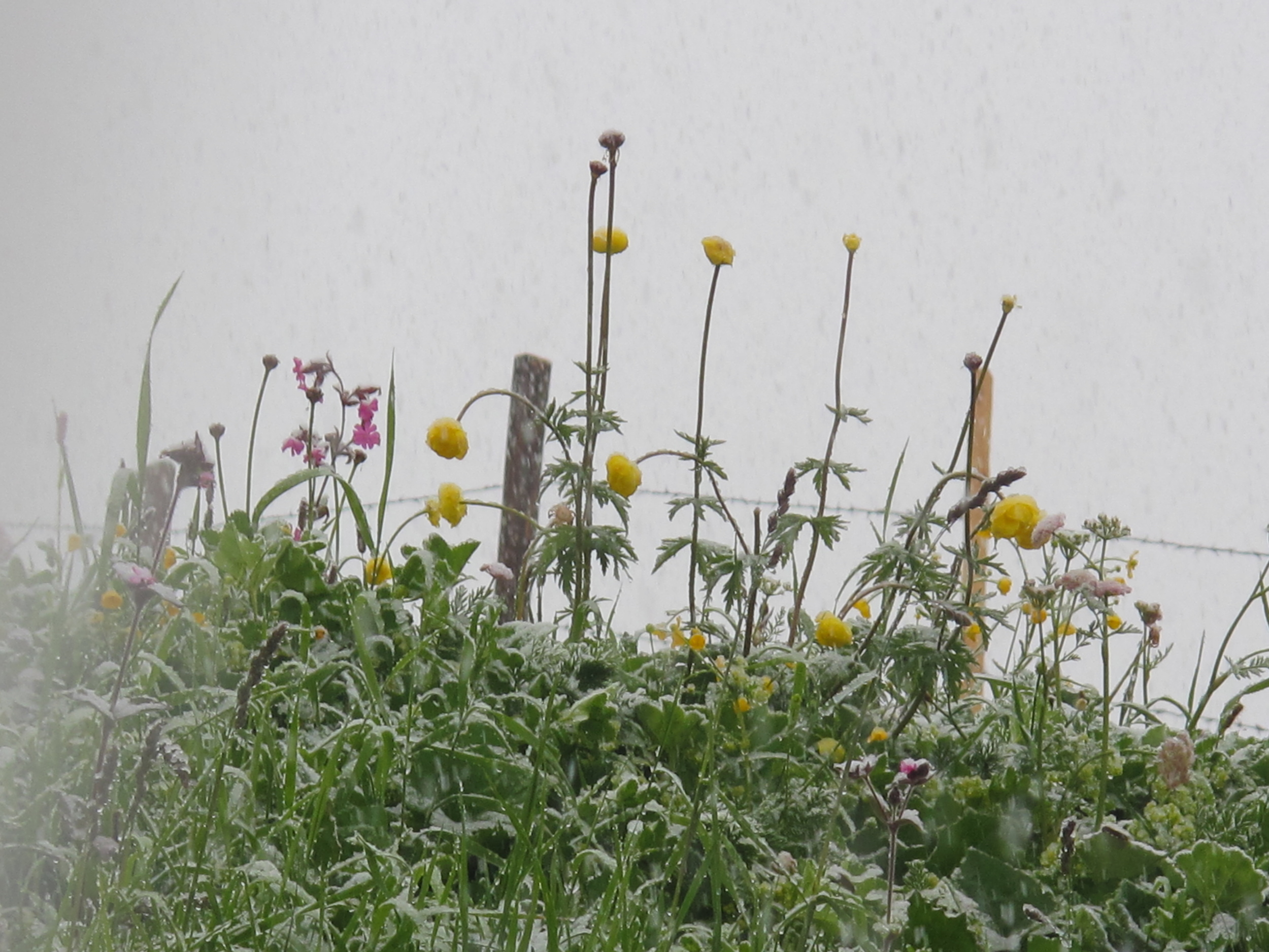Snowing in the Swiss Alps in summer time - snow on the buttercups and wild flowers