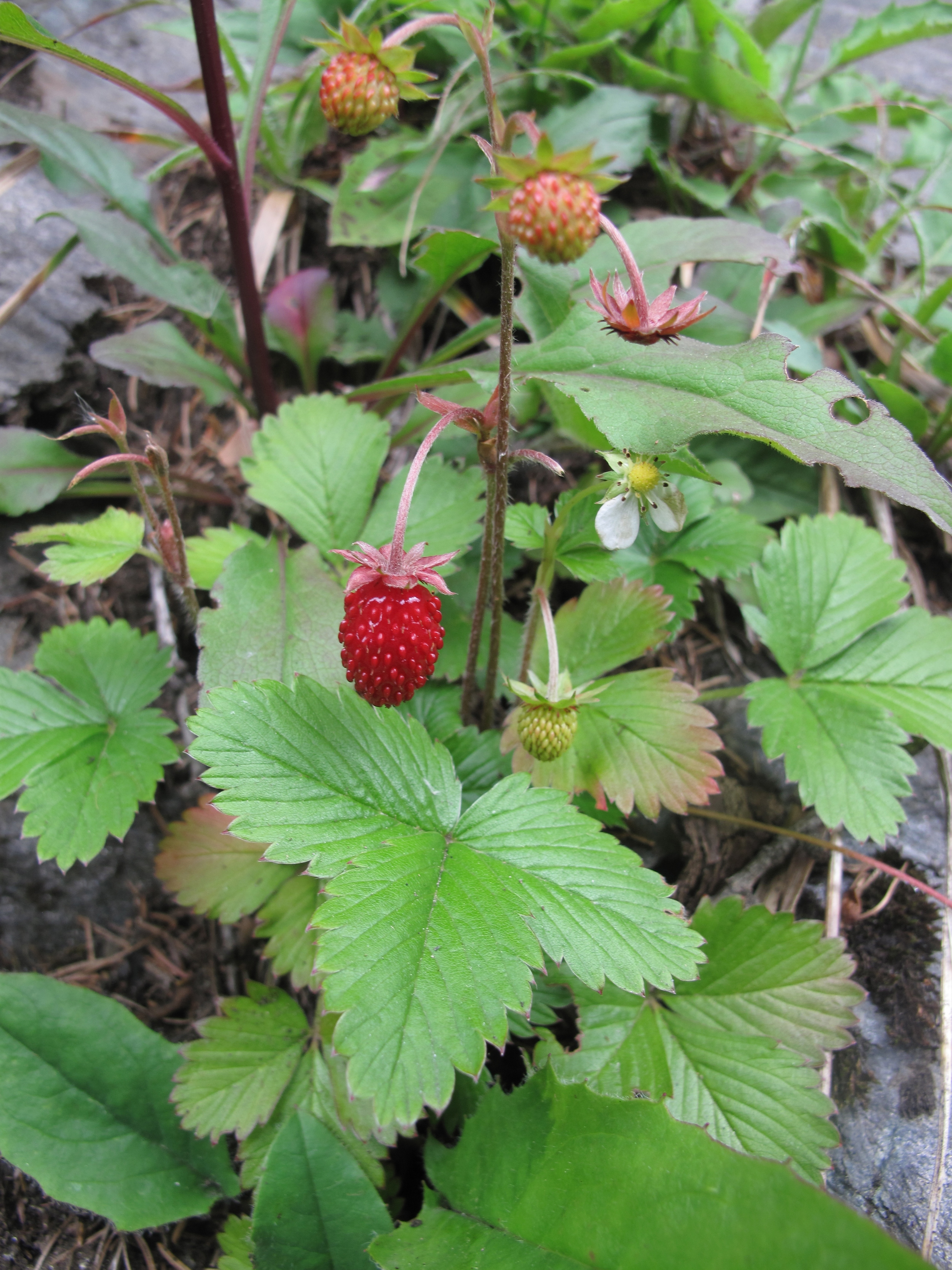 Tiny wild strawberries growing in the mountains of Austria.