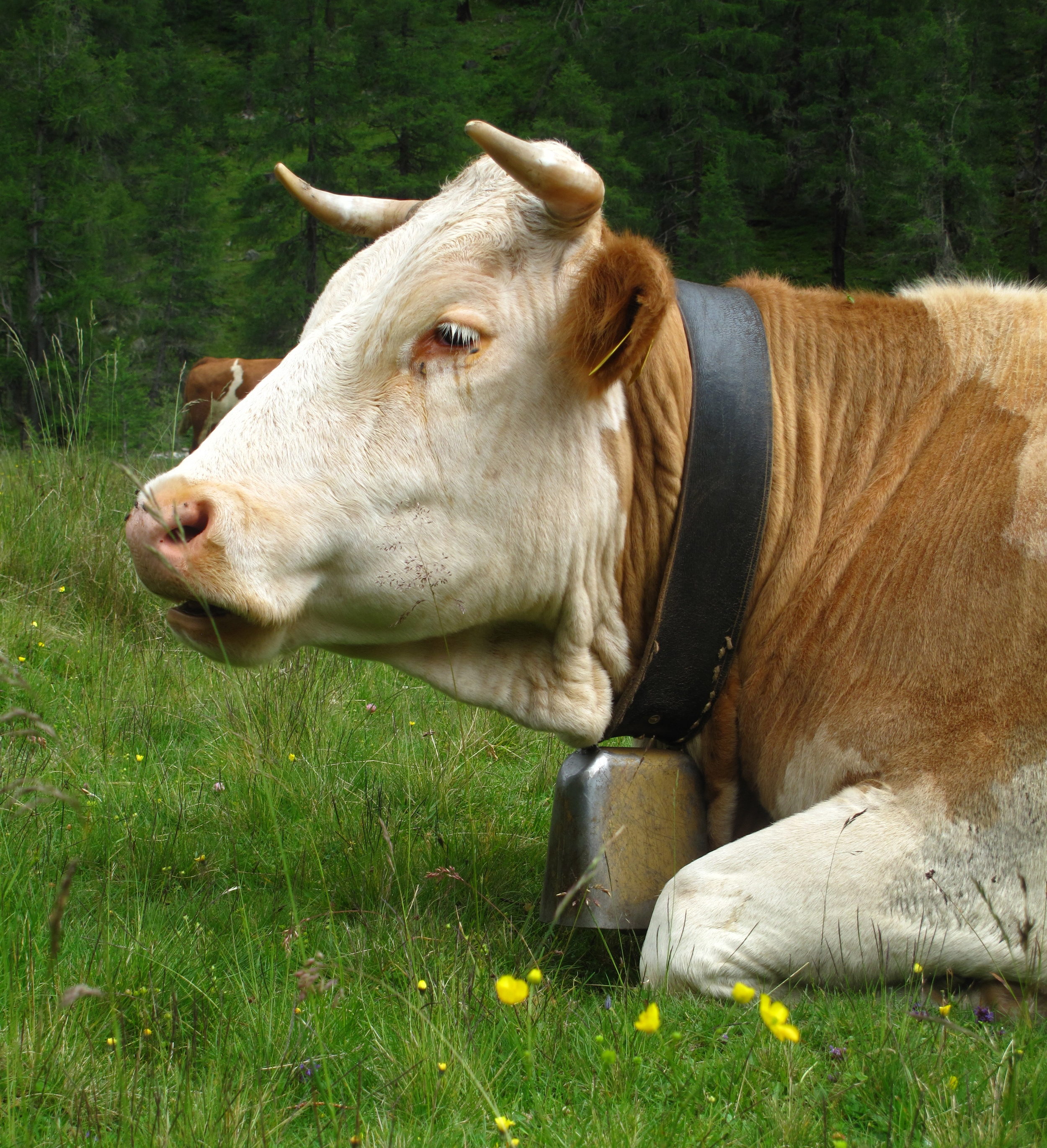 Austrian jersey cows with brown hides and cow bells roaming free in the mountains.