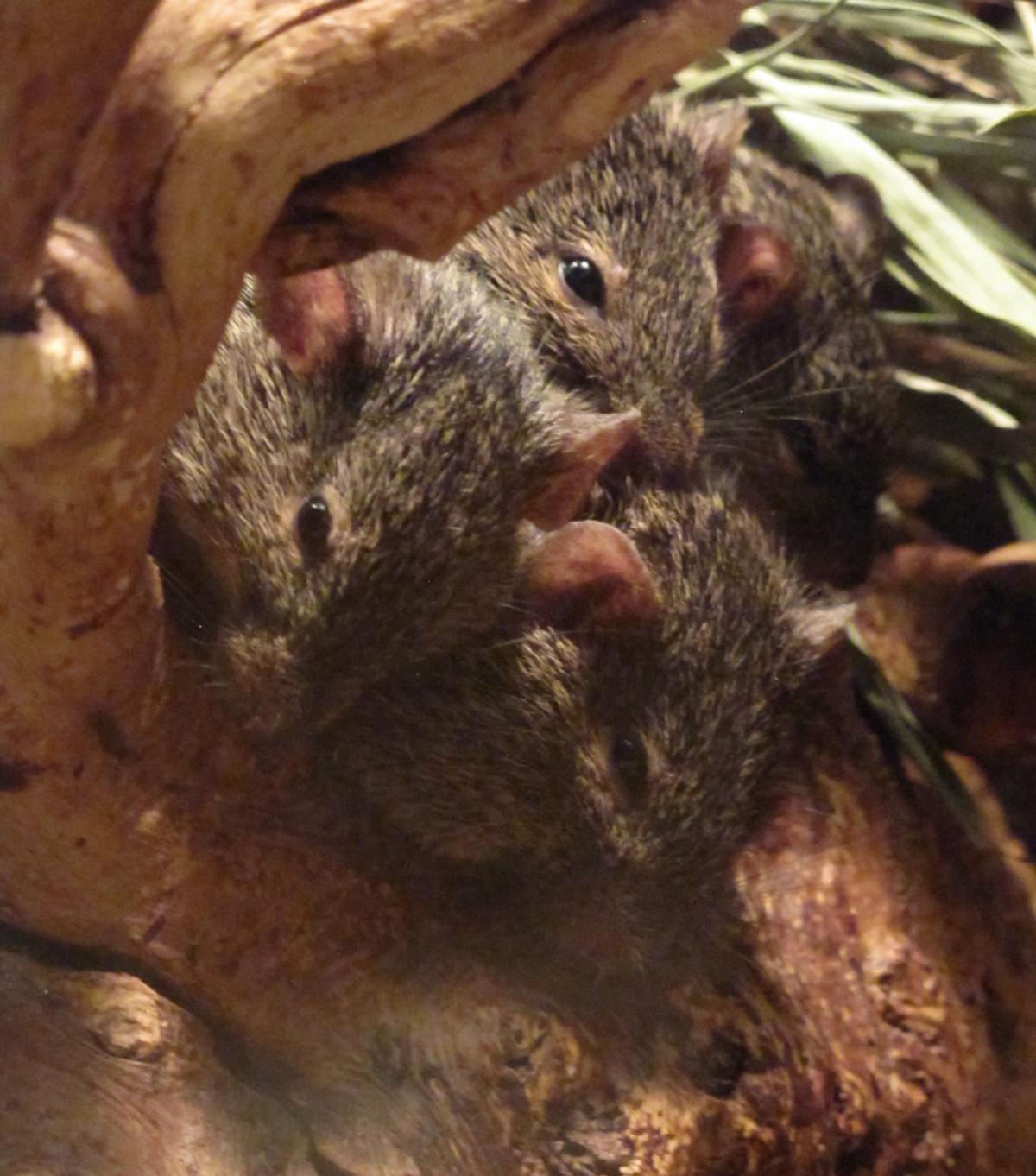 Baby mice in a little cuddling nest