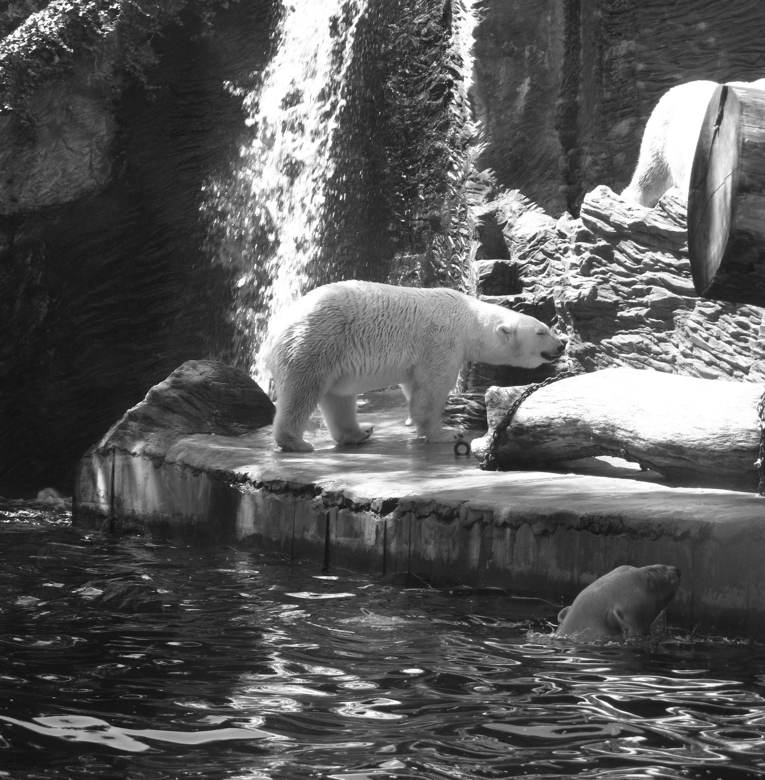 Polar bears swimming