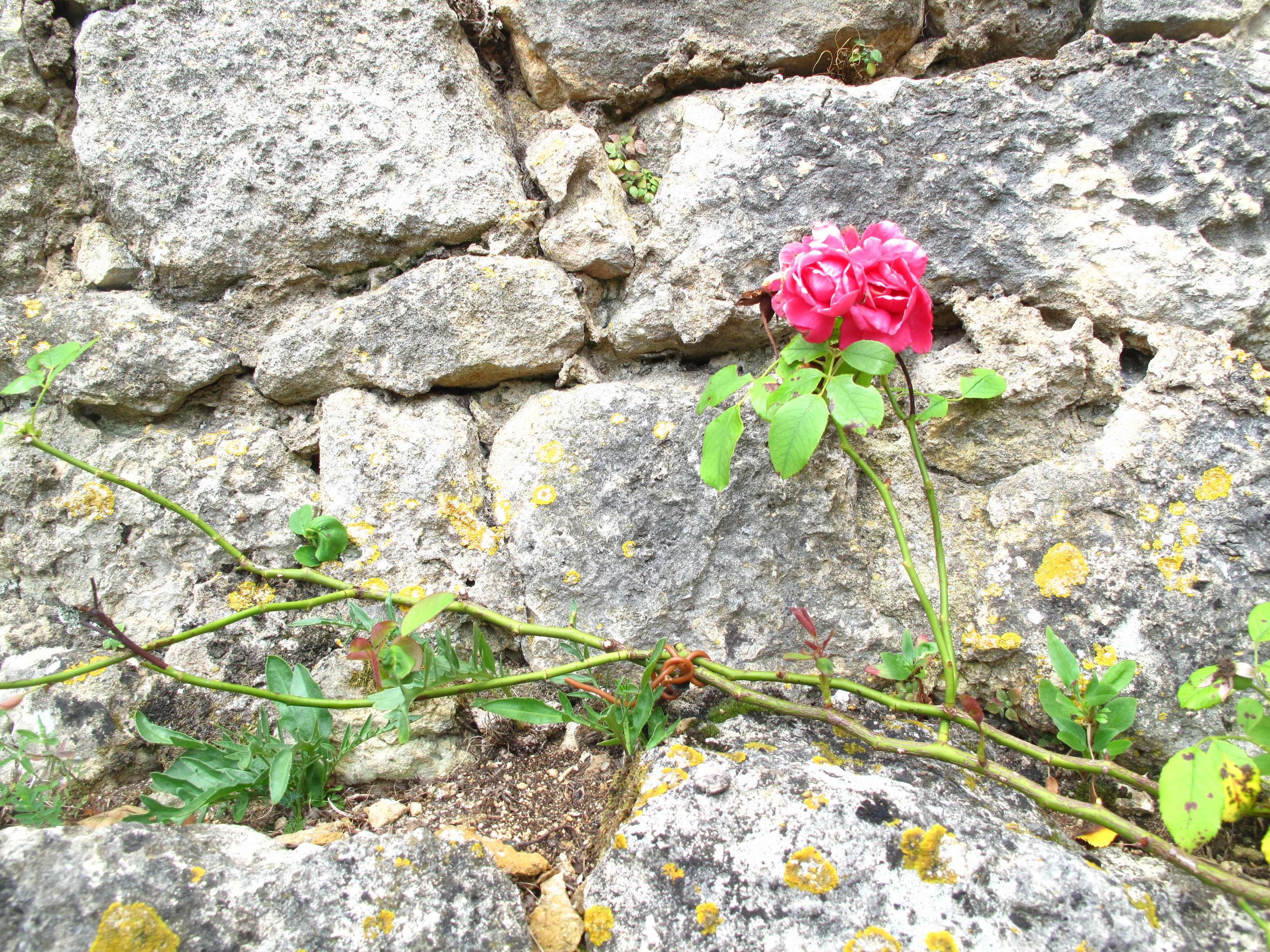 Rose bush on a stone wall, Dordogne, France.