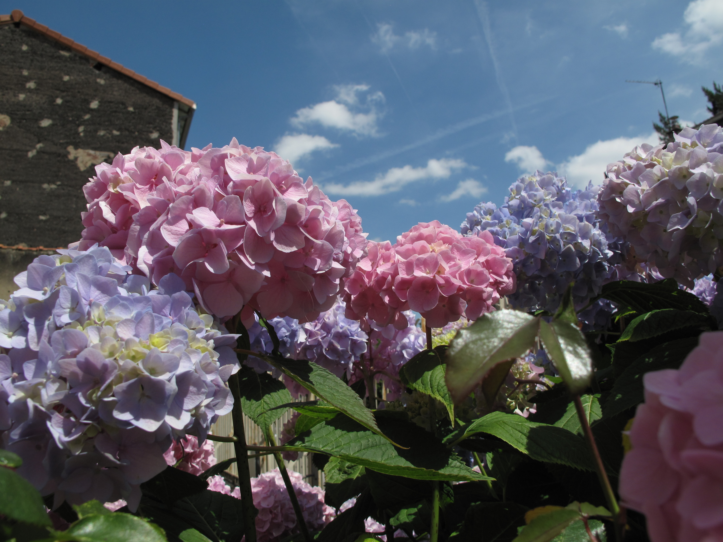 Hydrangea flowers and blue skies.