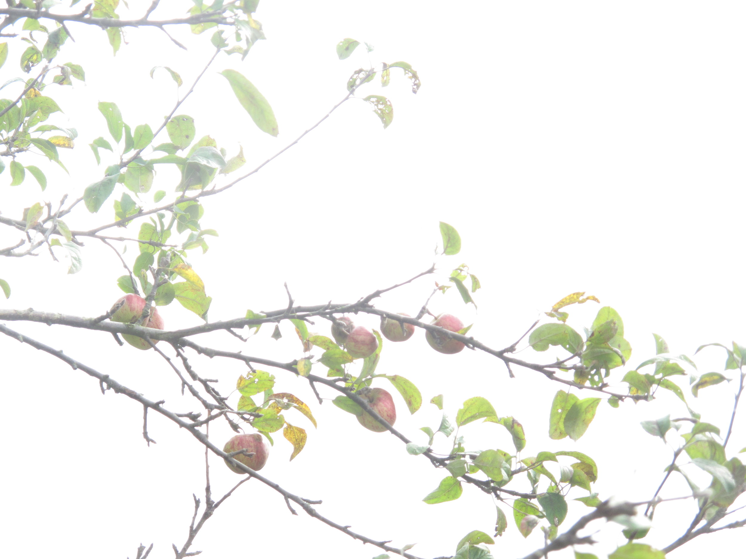 Apples in a tree.