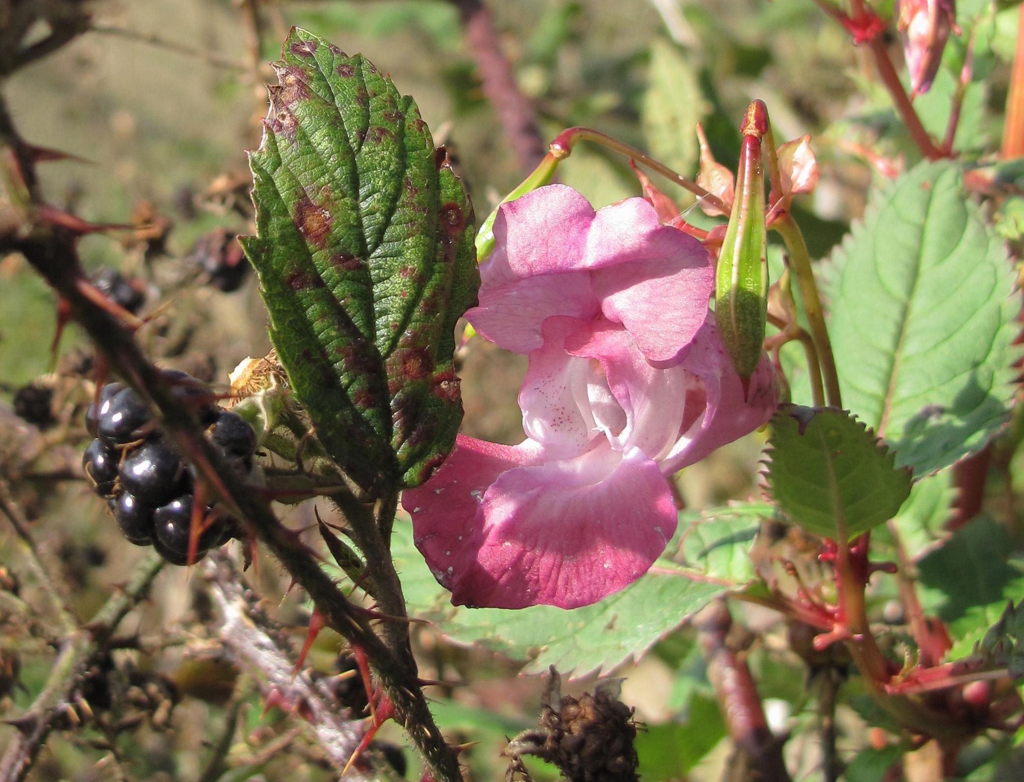 Blackberries and flowers growing in Holyrood Park.