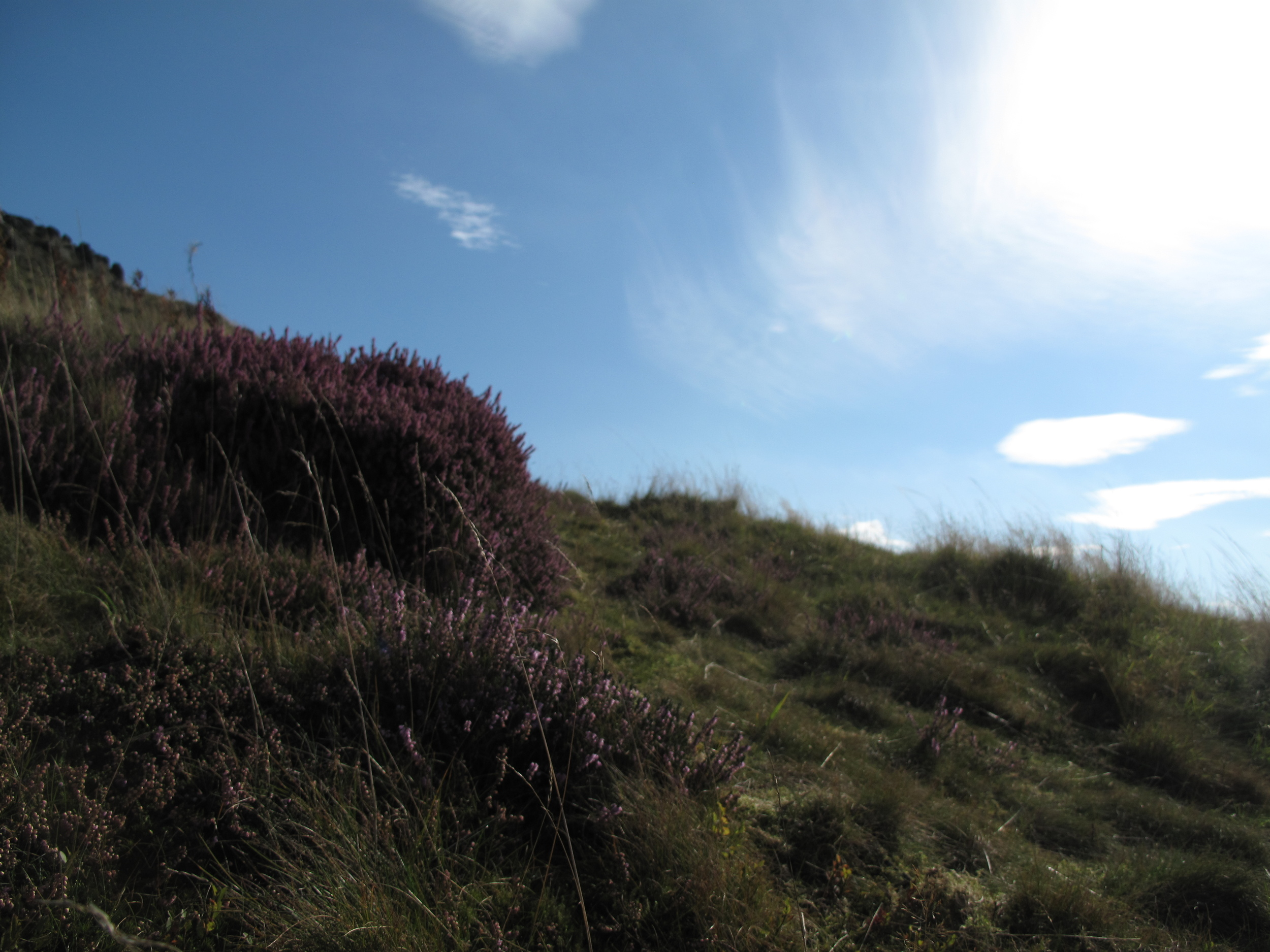 Heather flowers on the hills of Holyrood.