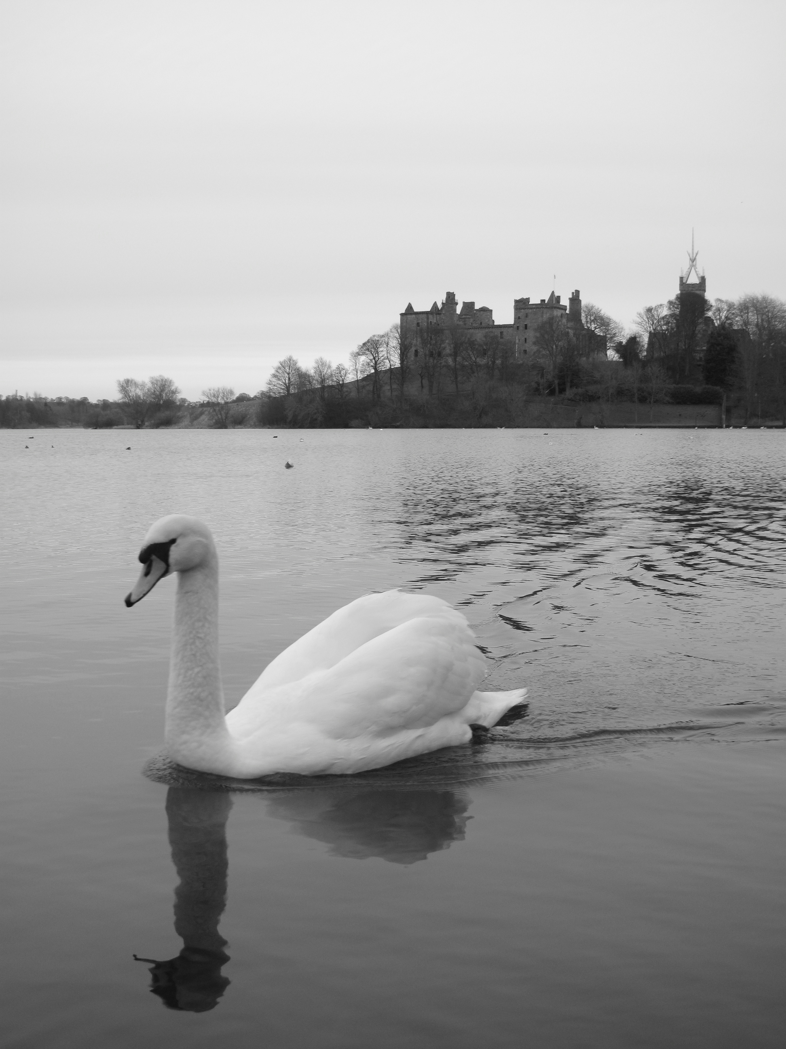 Swan in front of Linlithgow Palace.