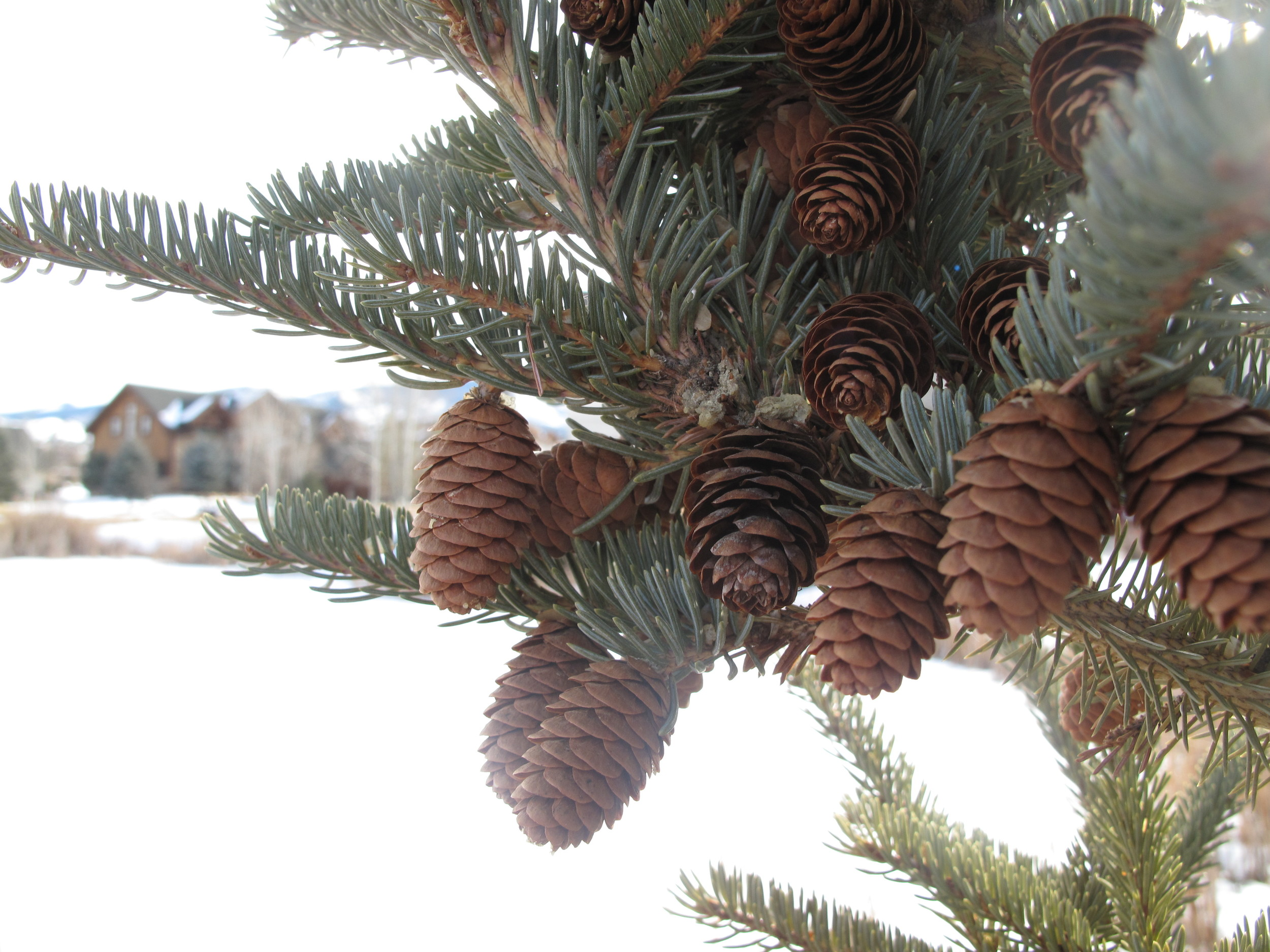 Pine cones on a pine tree.