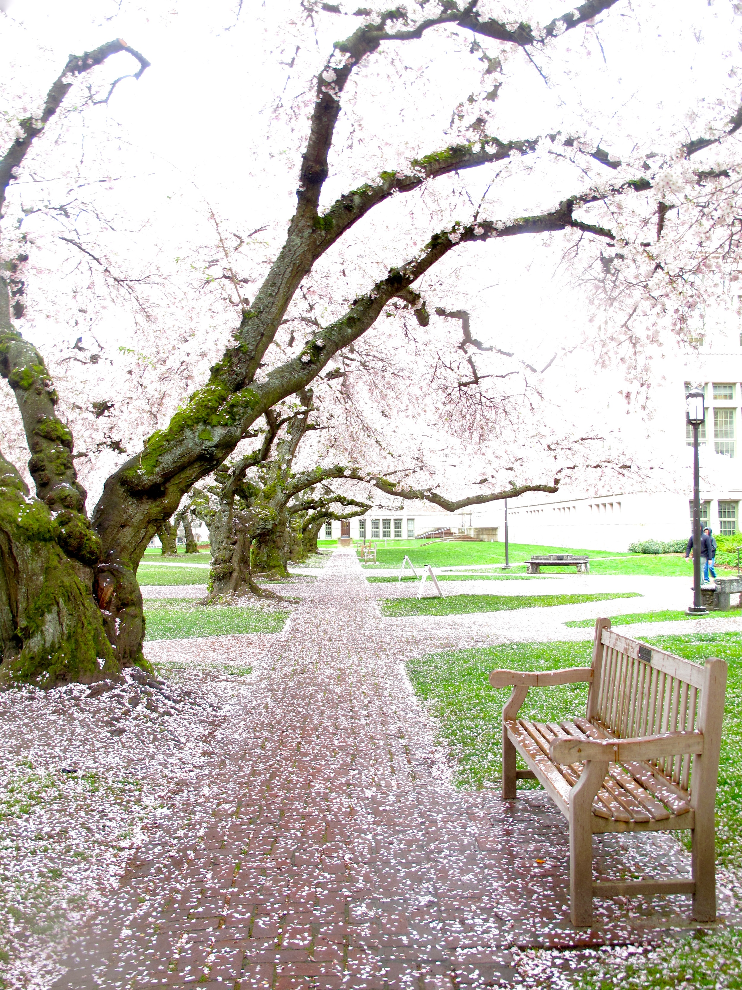 Cherry blossoms on a lane with benches, at the University of Washington