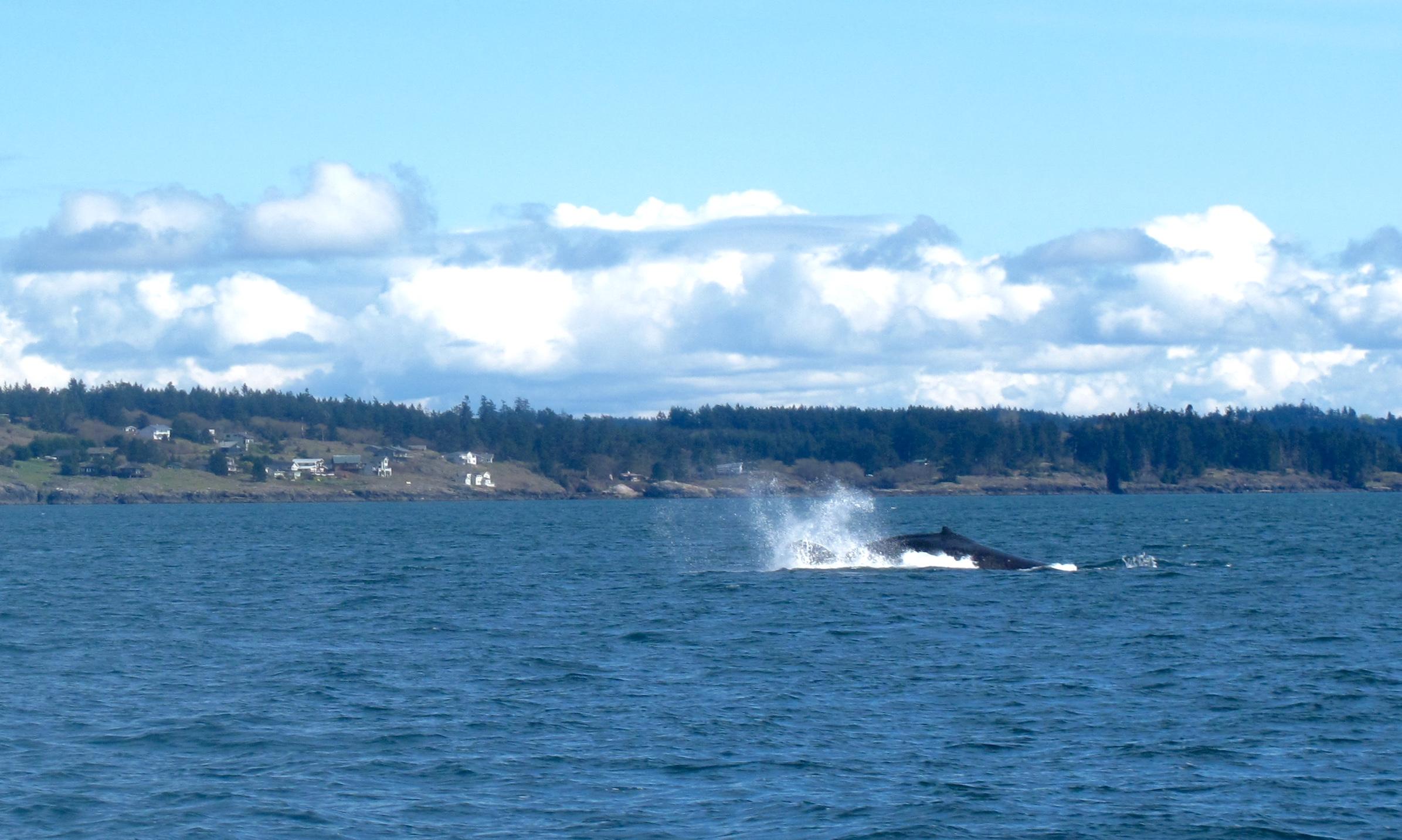 Humpback whale near the San Juan islands.