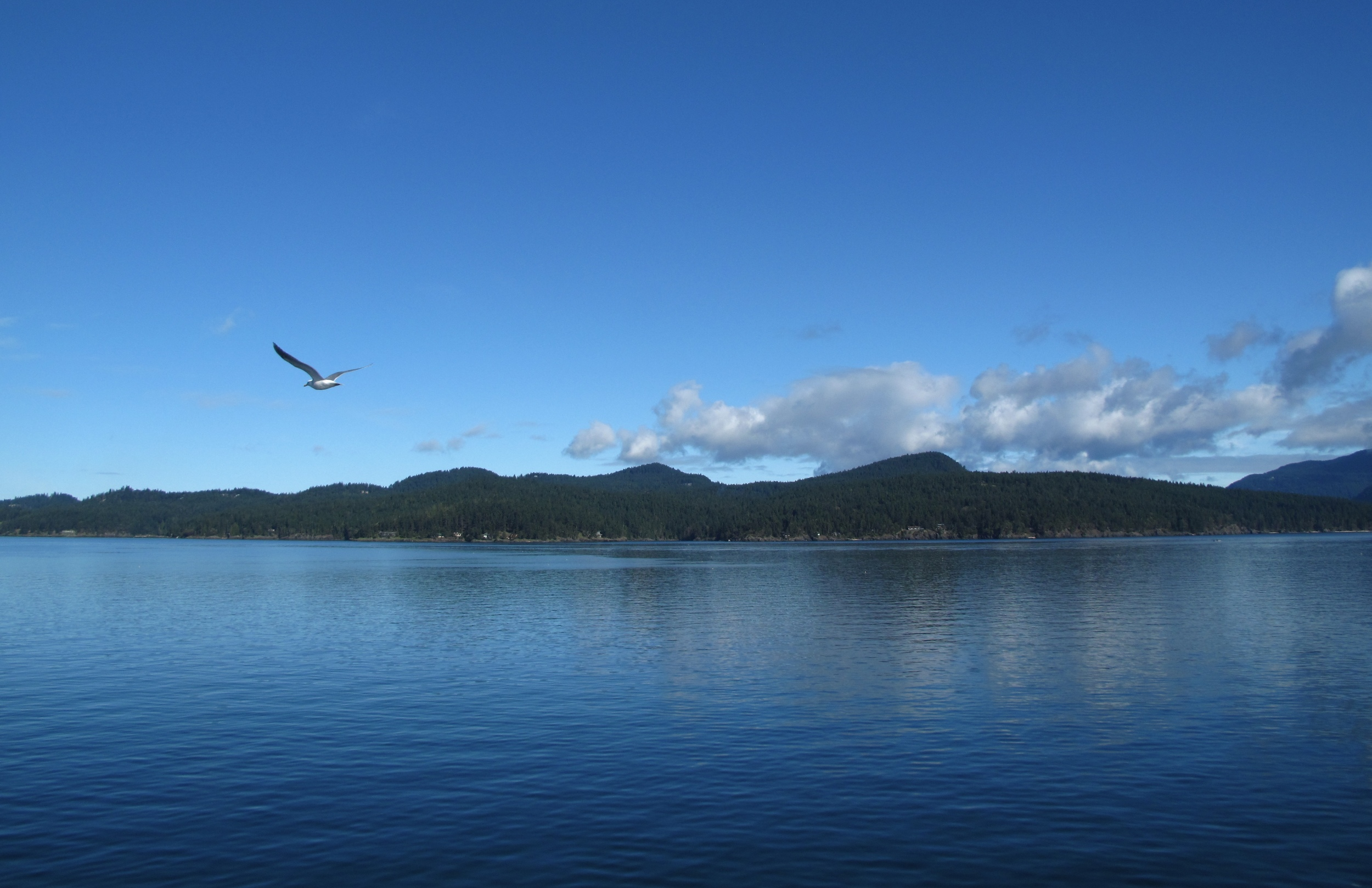 Bird flying over the sea by the San Juan islands, USA.