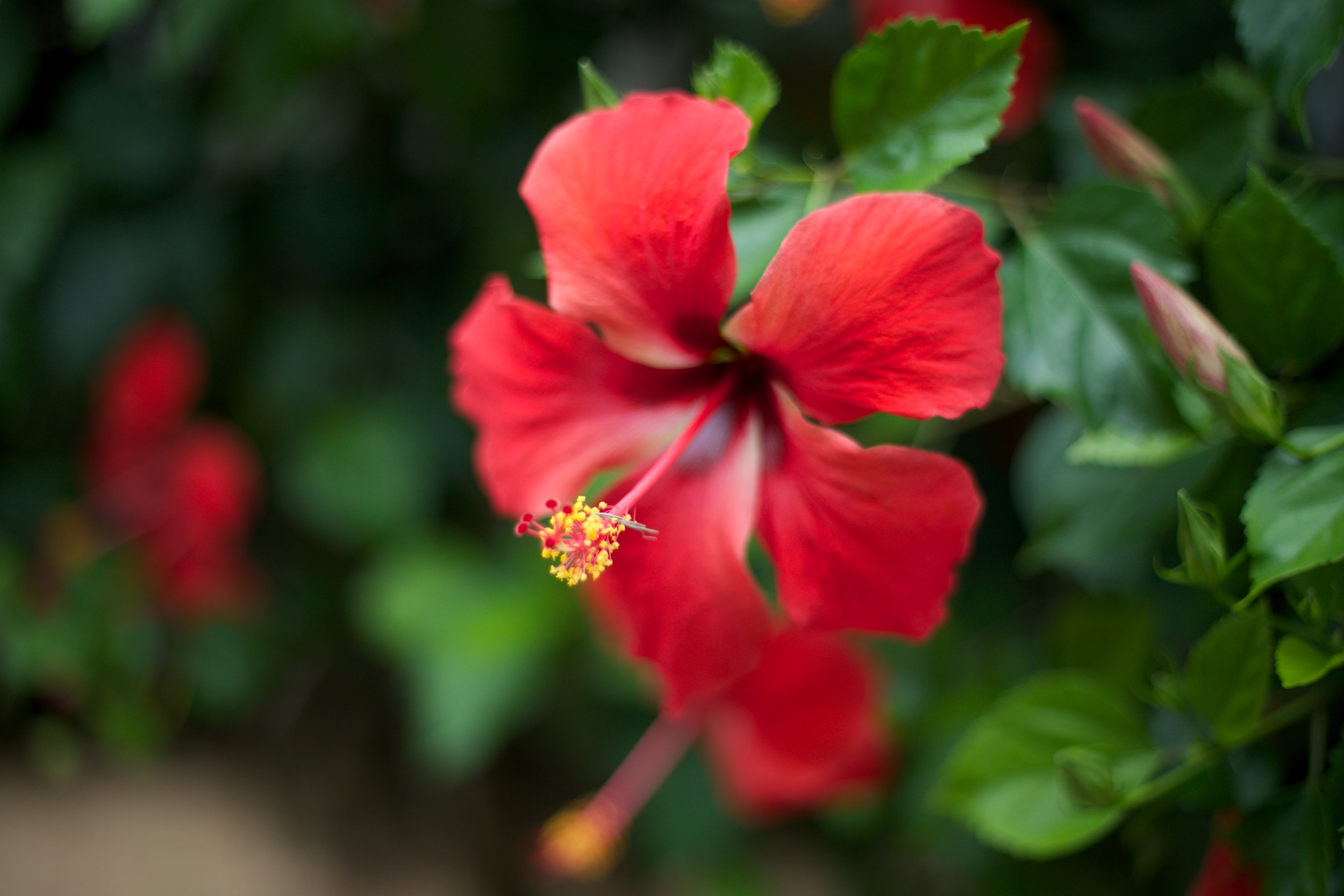 Red hibiscus flower, up close.