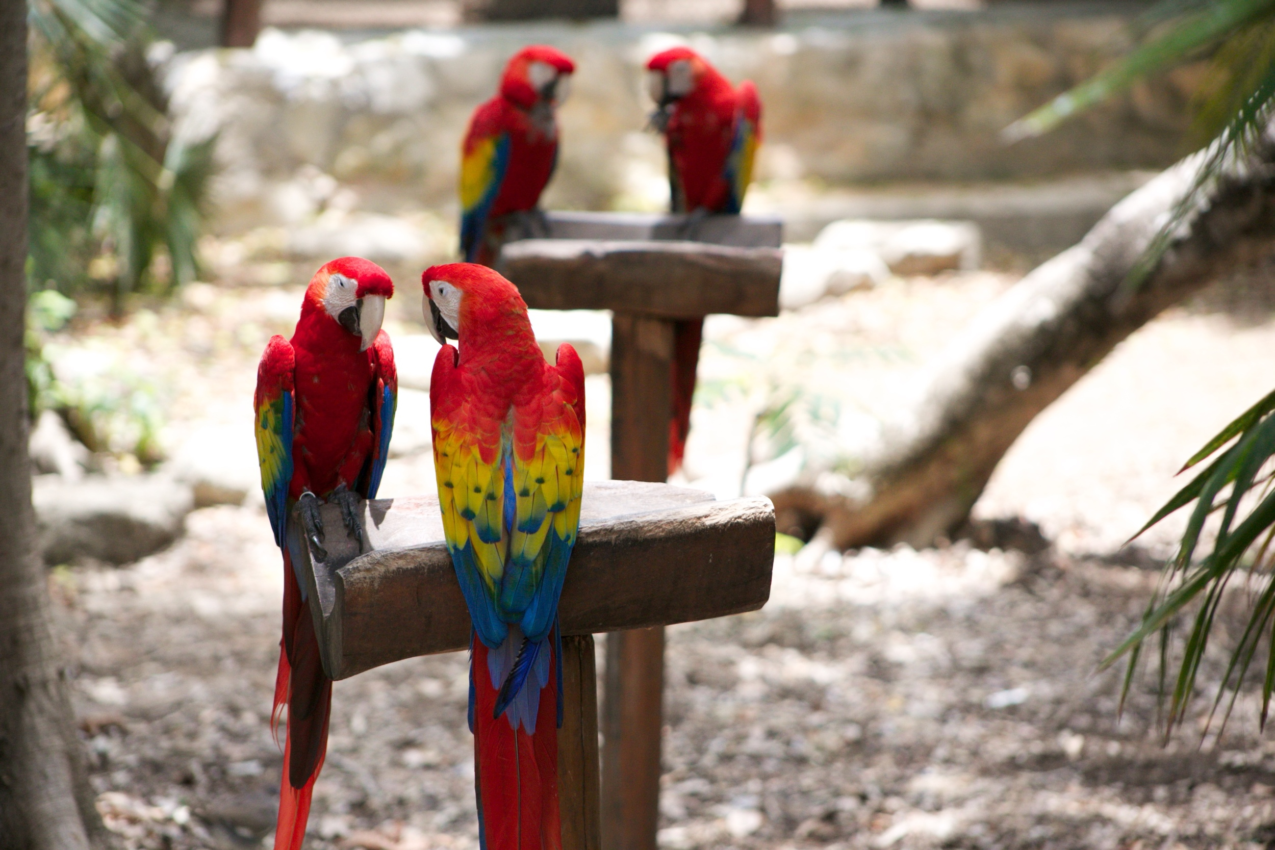 Colourful parrots at Xcaret, in Cancun.