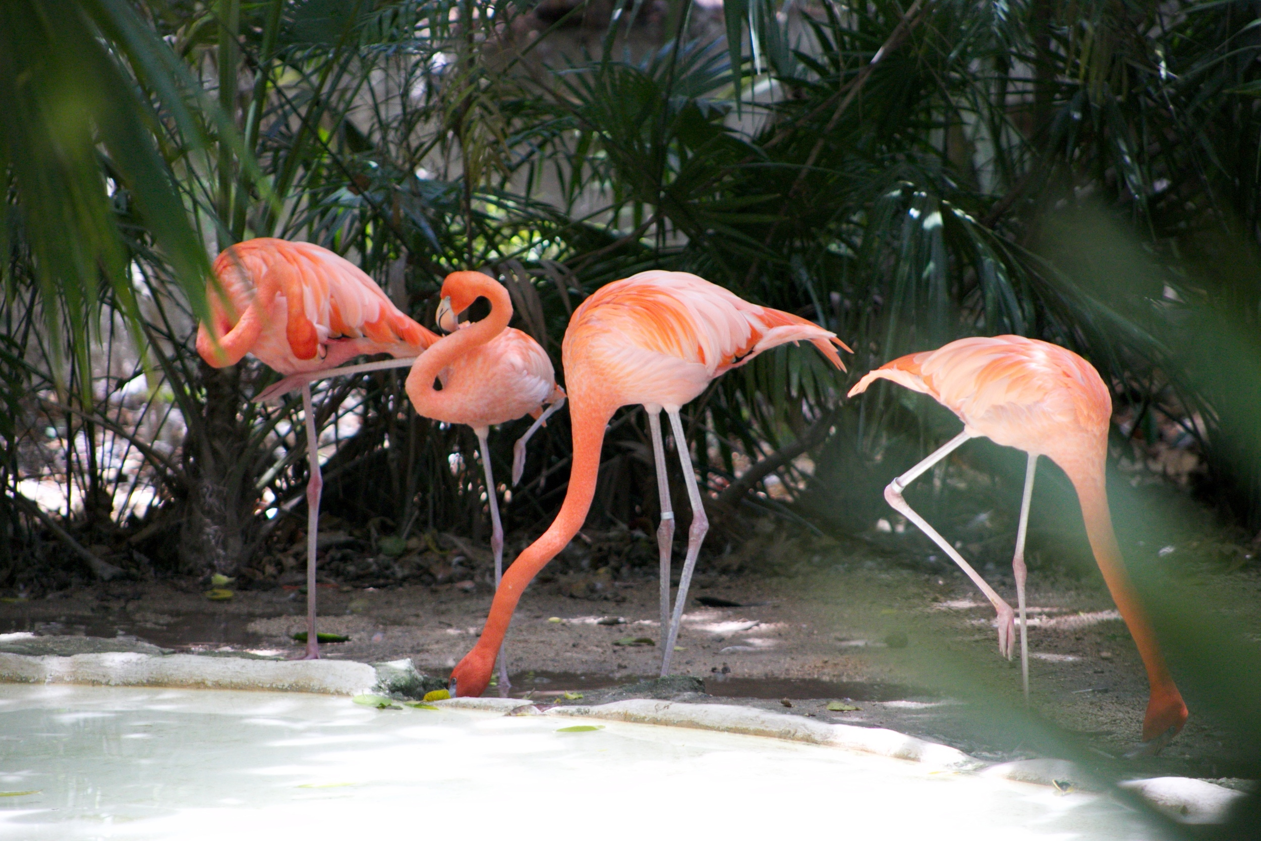 Flamingos by water, seen through green leaves.