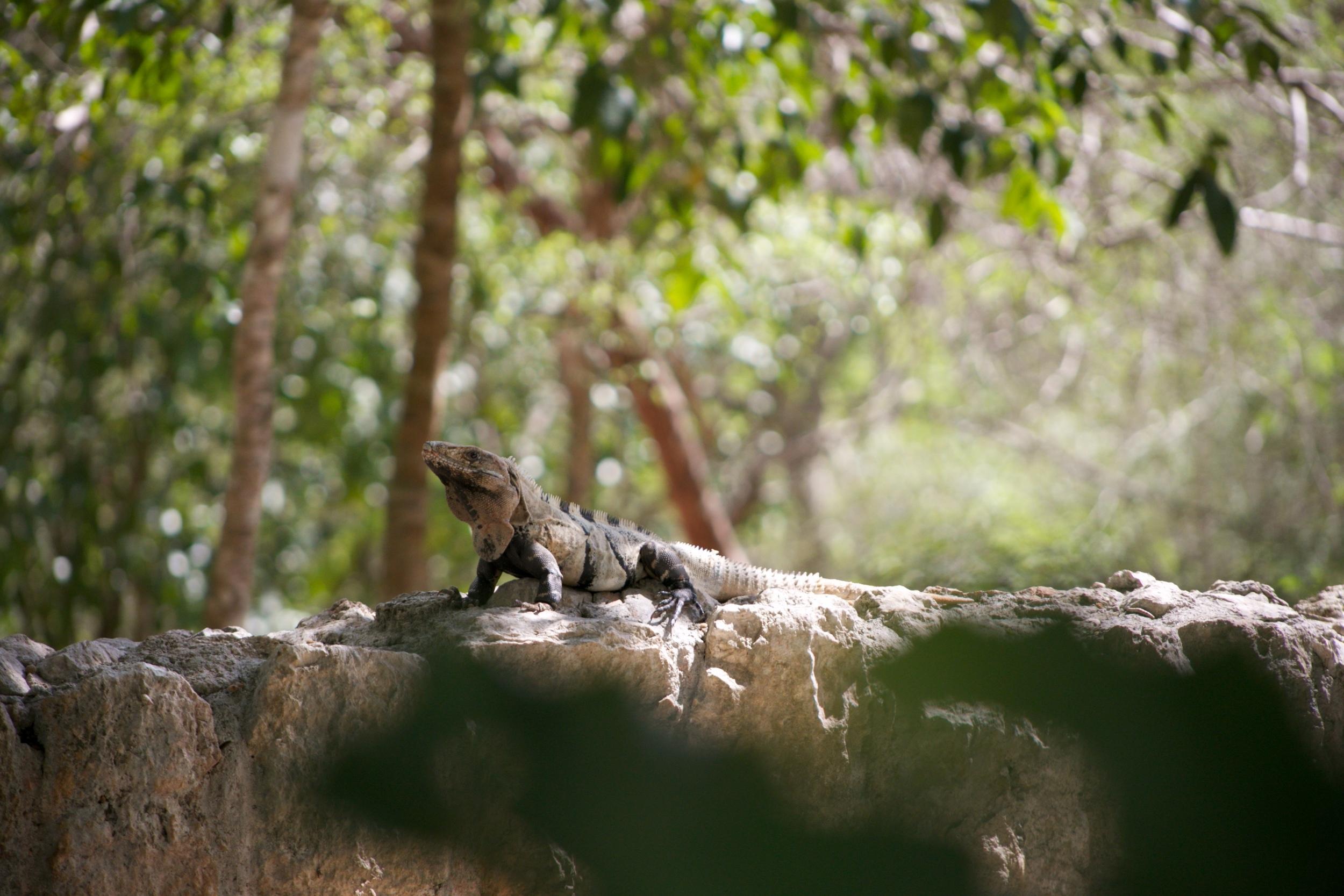 An iguana in the park of Chichen Itza.