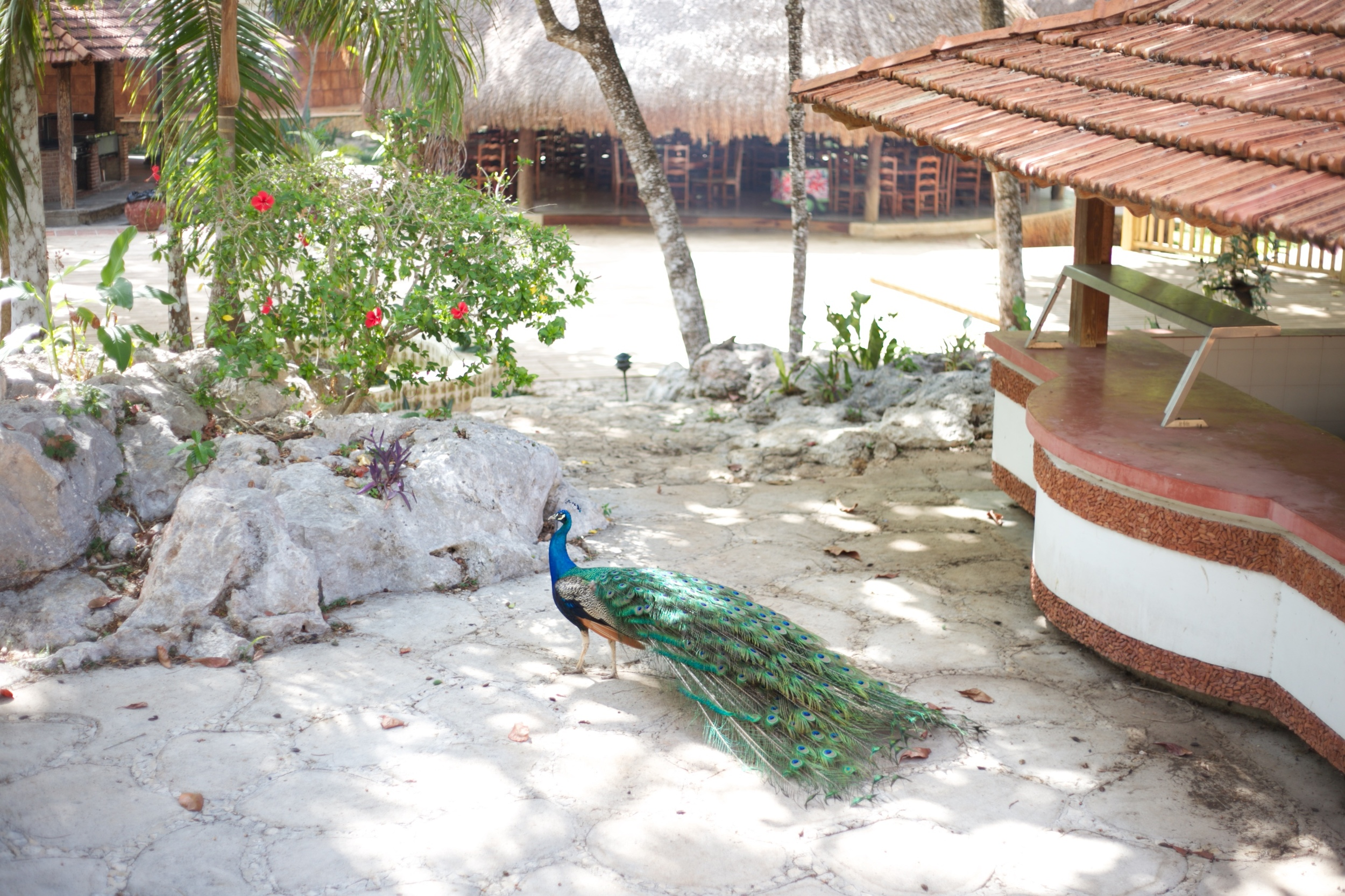A peacock with its tail down.