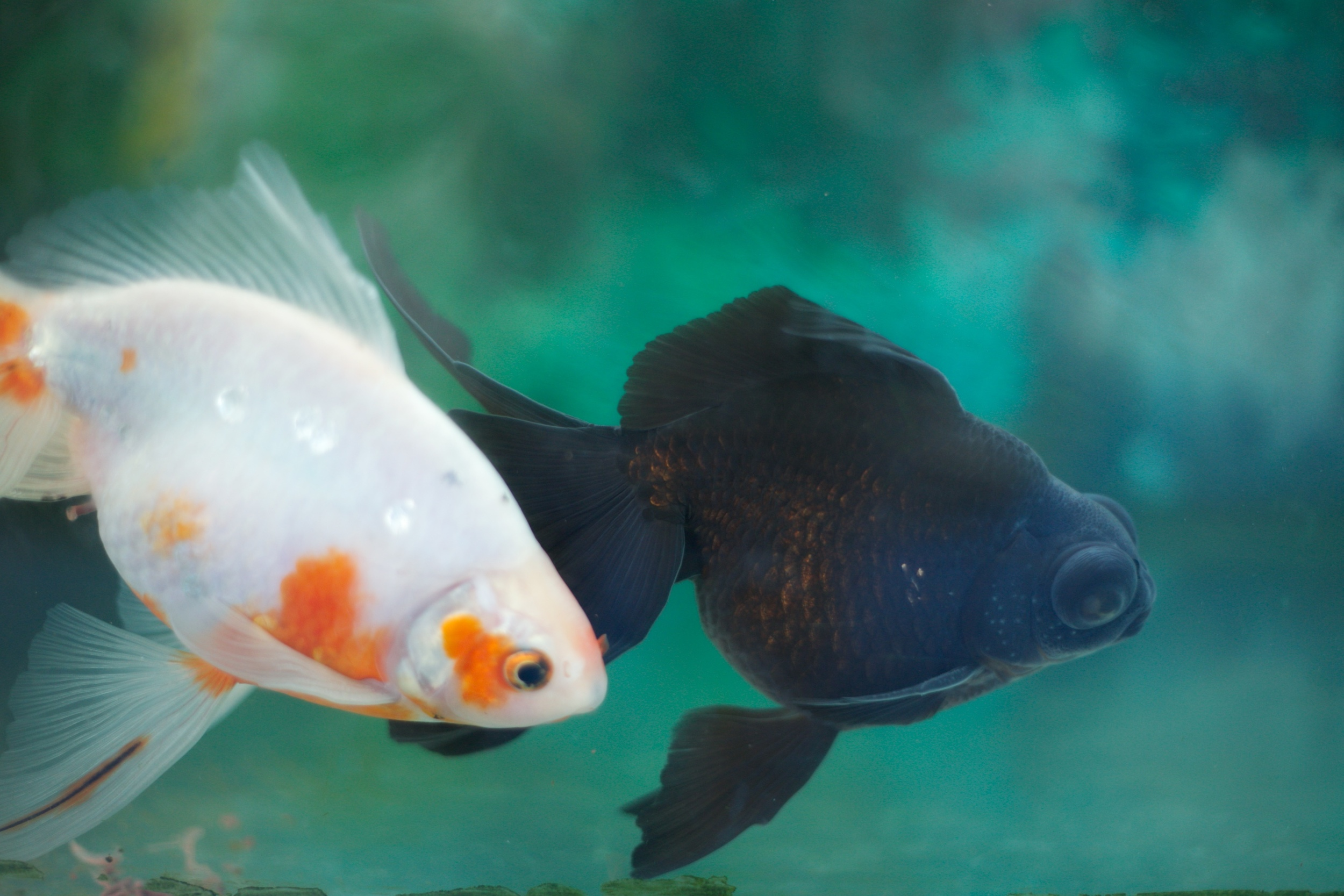 Goldfish in a tank, black one with big eyes.