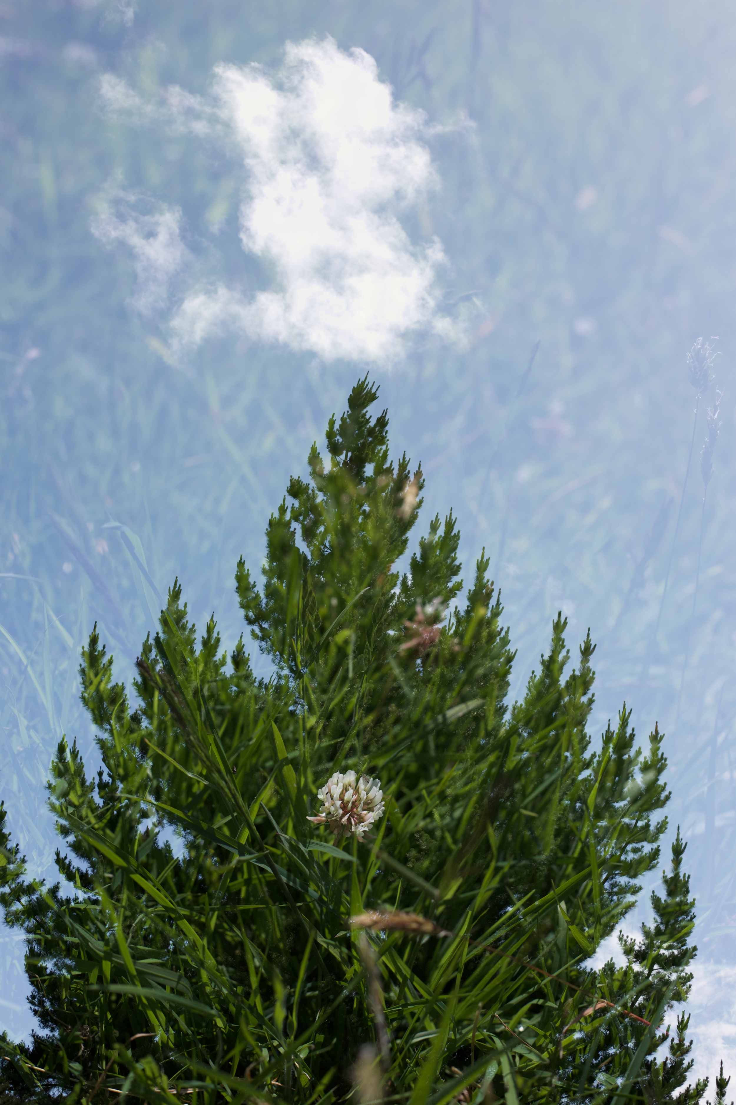 A clover flower, a pine tree and a cloud.