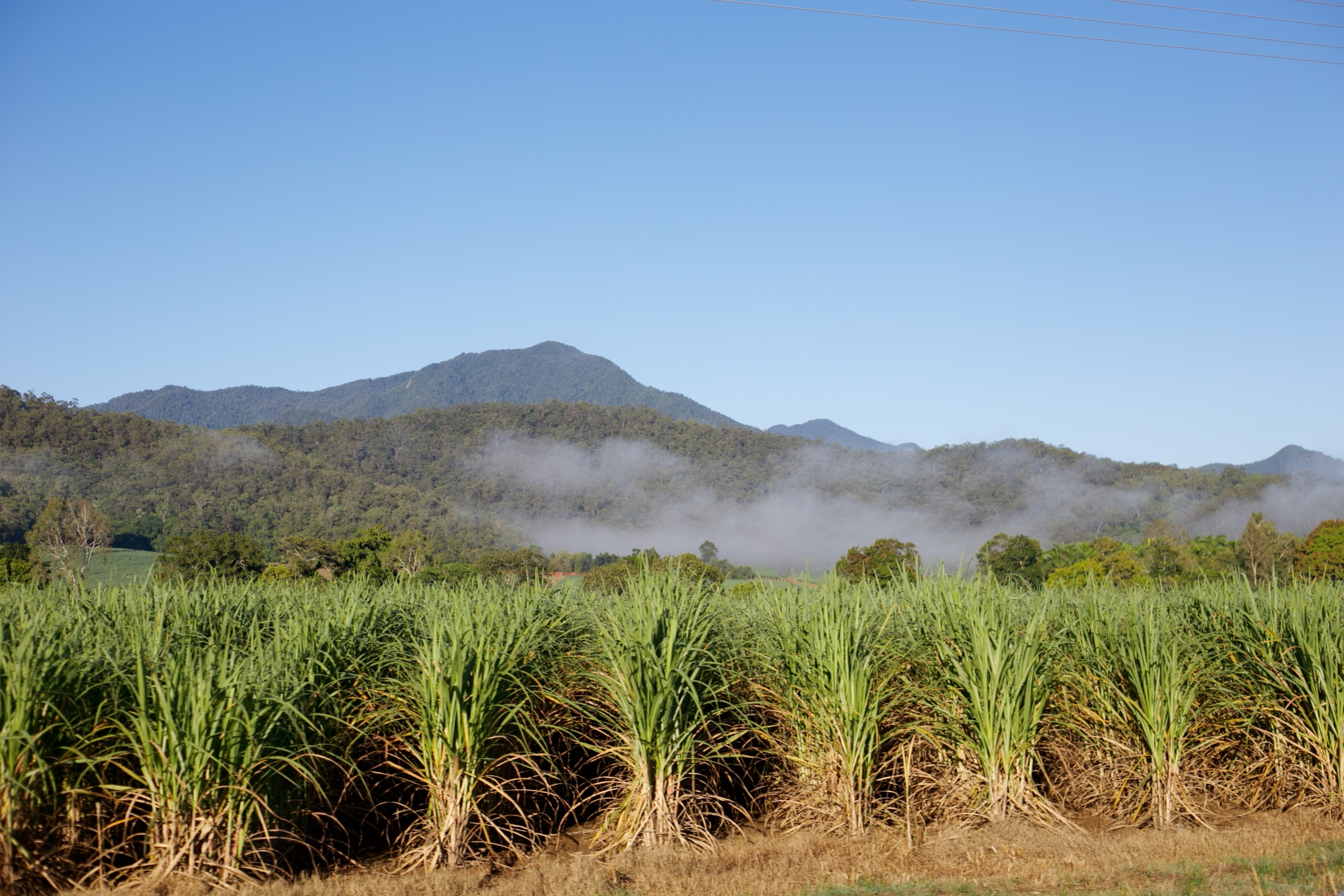 Sugar cane fields in Australia's tropical climate.