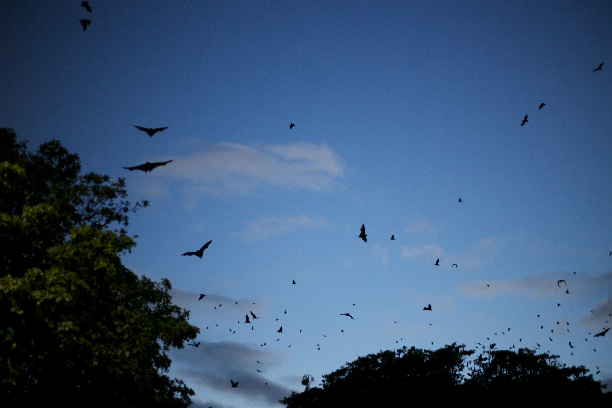 Bats flying around the city of Cannes at dusk.