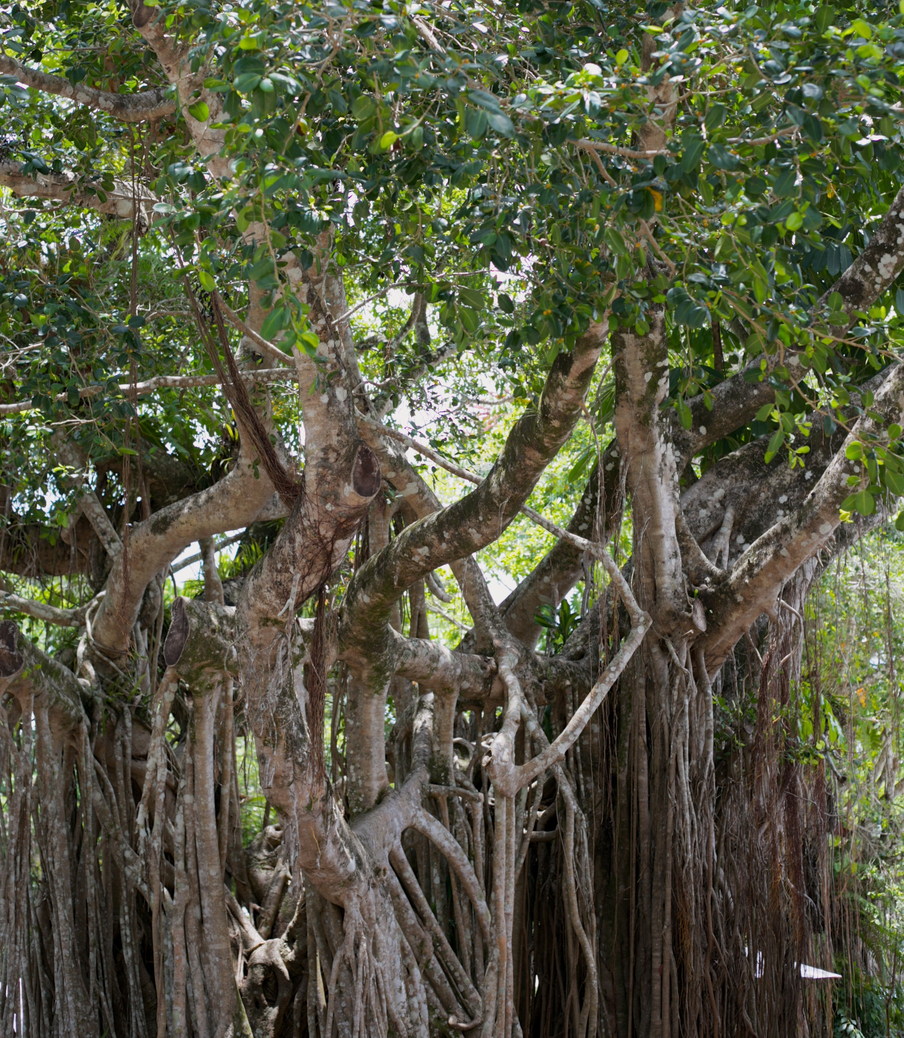 Fig tree roots in Australia.