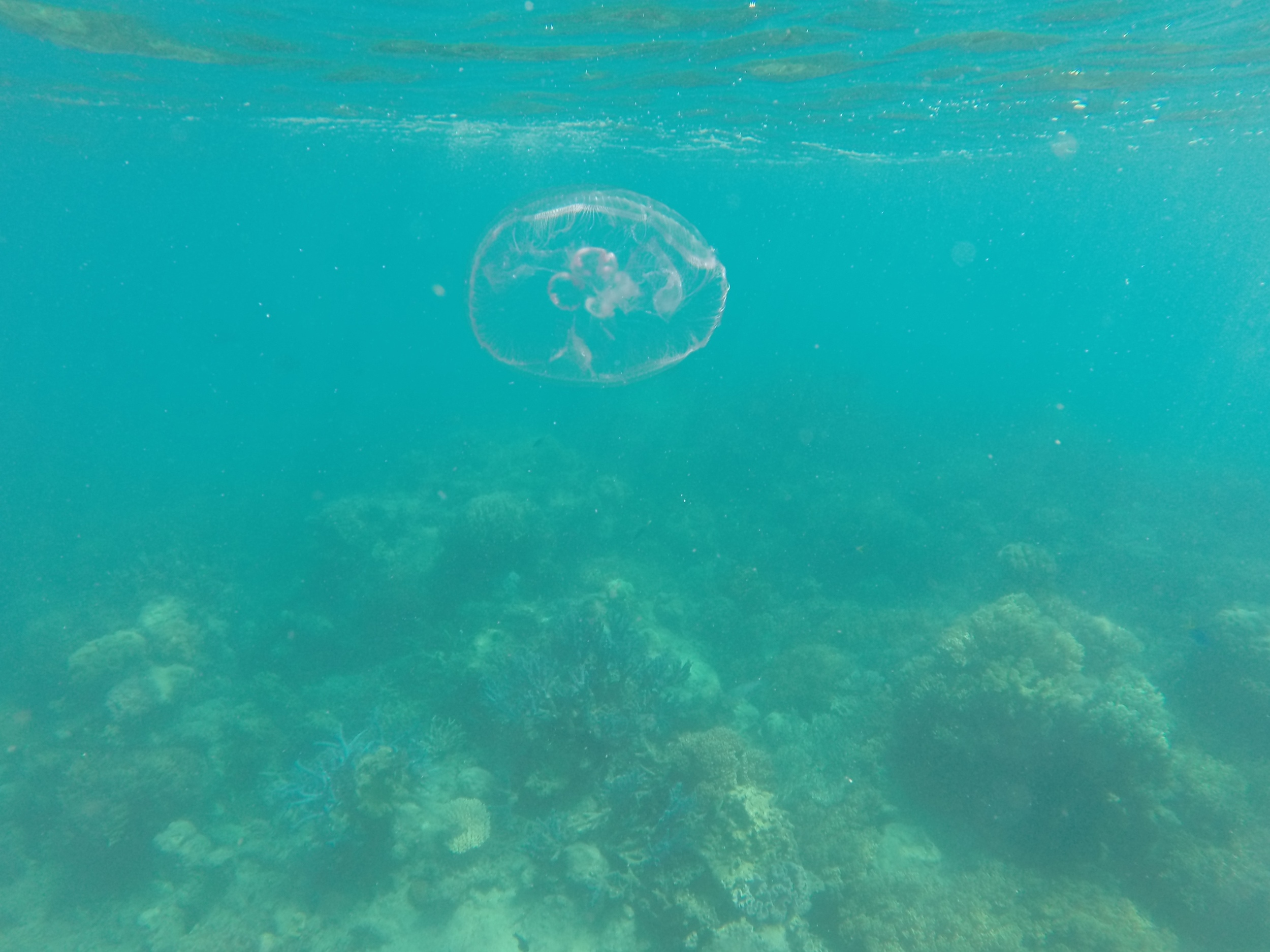 A moon jellyfish, floating about the Great Barrier reef.