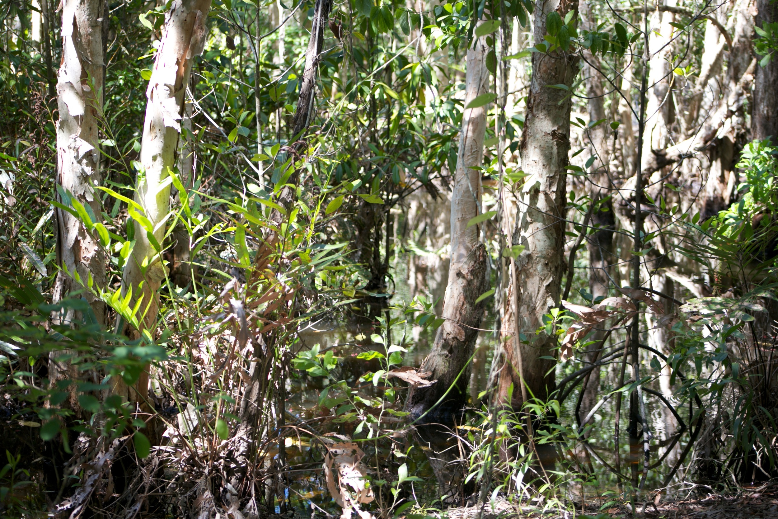 Australian jungle trees and marshes.