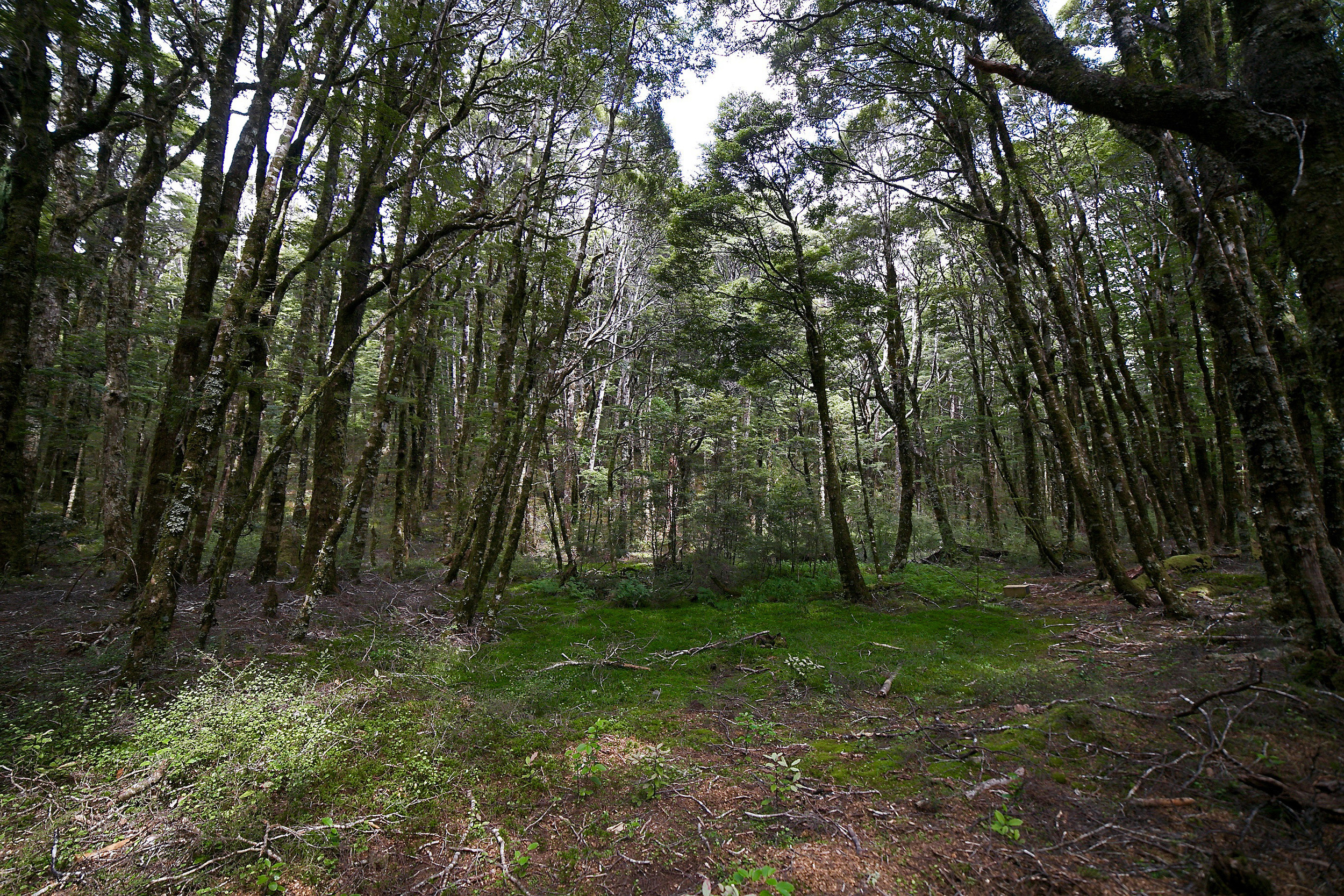 An elven forest clearing in New Zealand - Harwood forest, Canaan Downs.