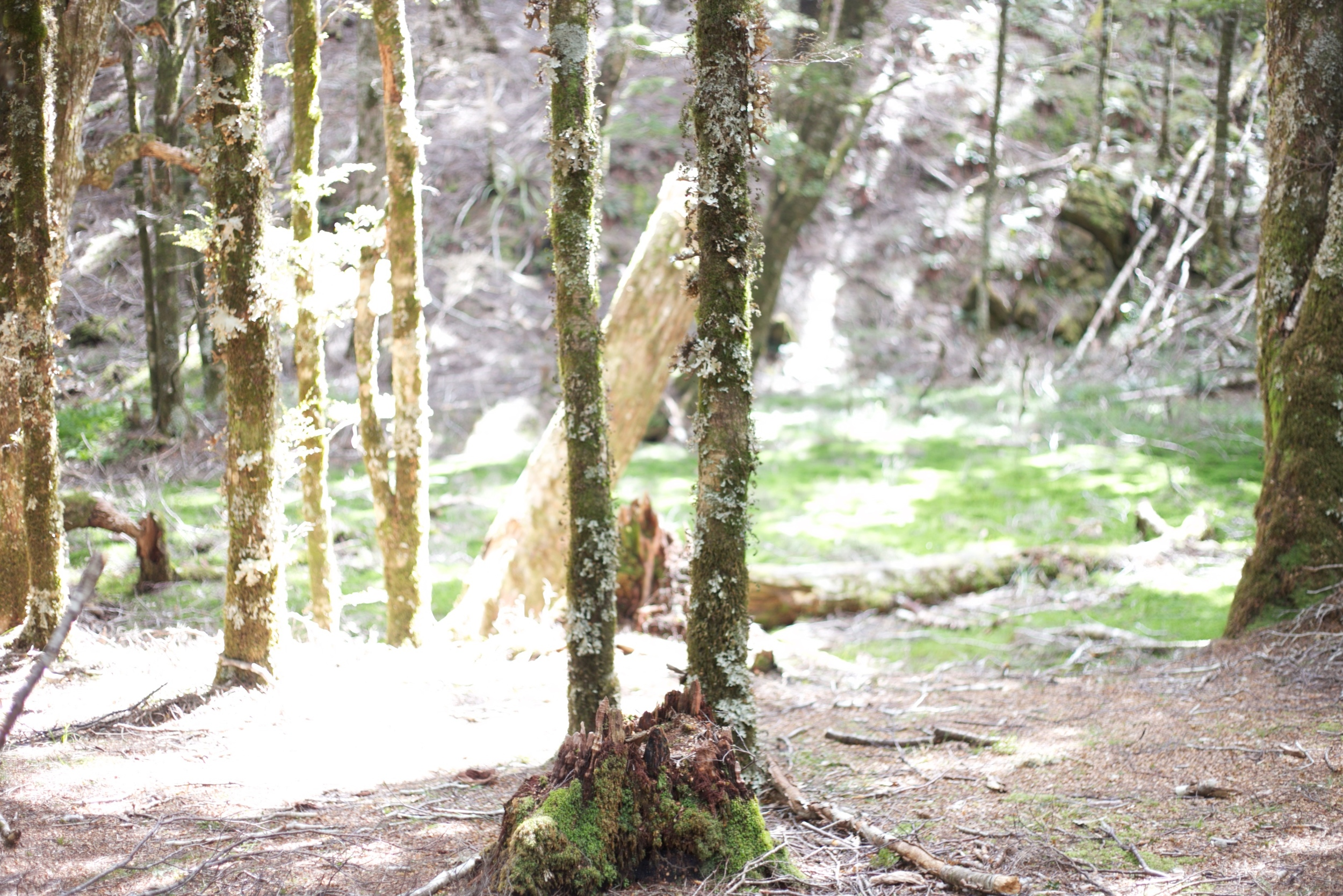 Trees covered in moss, in the Caanan Downs.