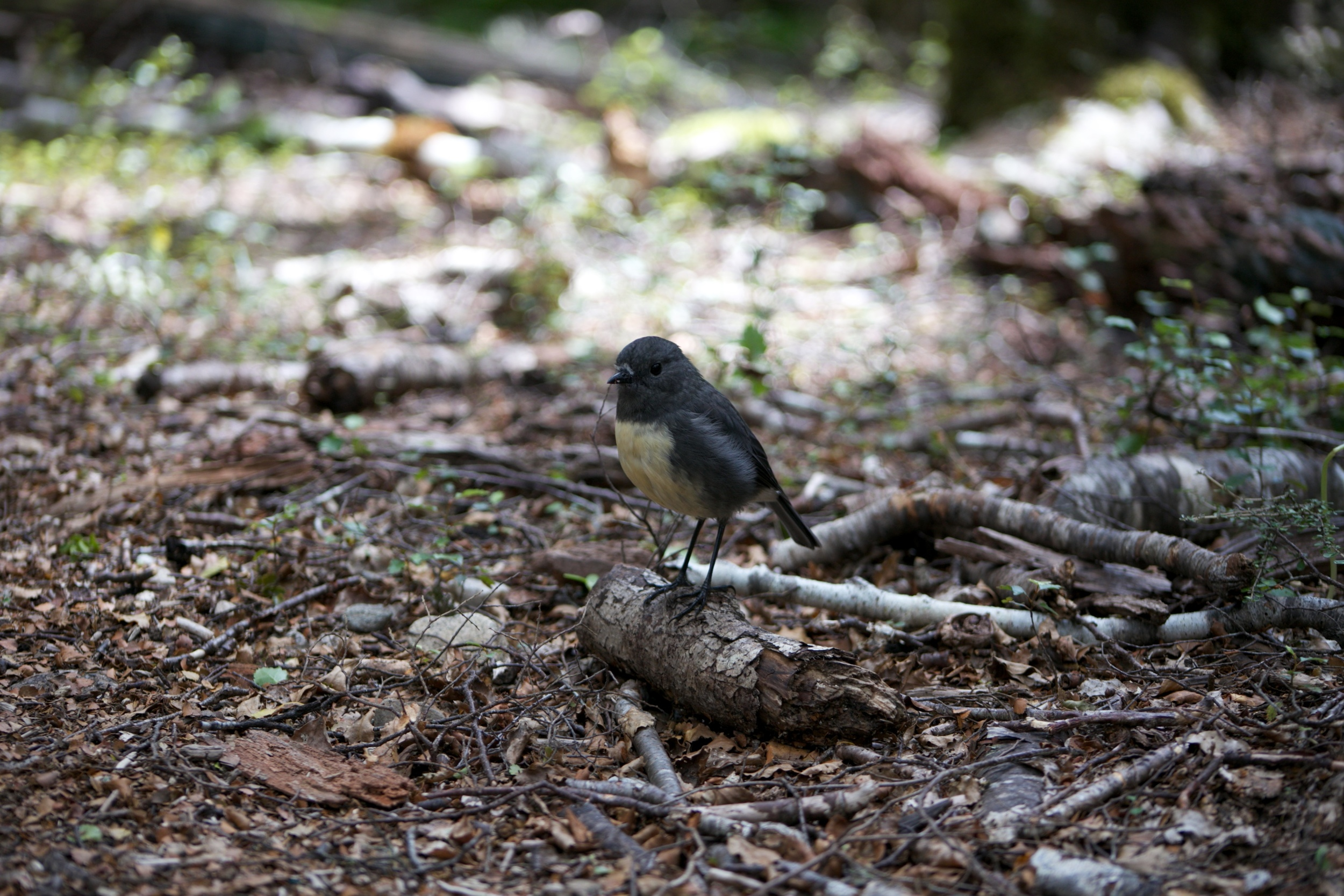 A friendly South Island Robin in the Canaan Downs reserve.
