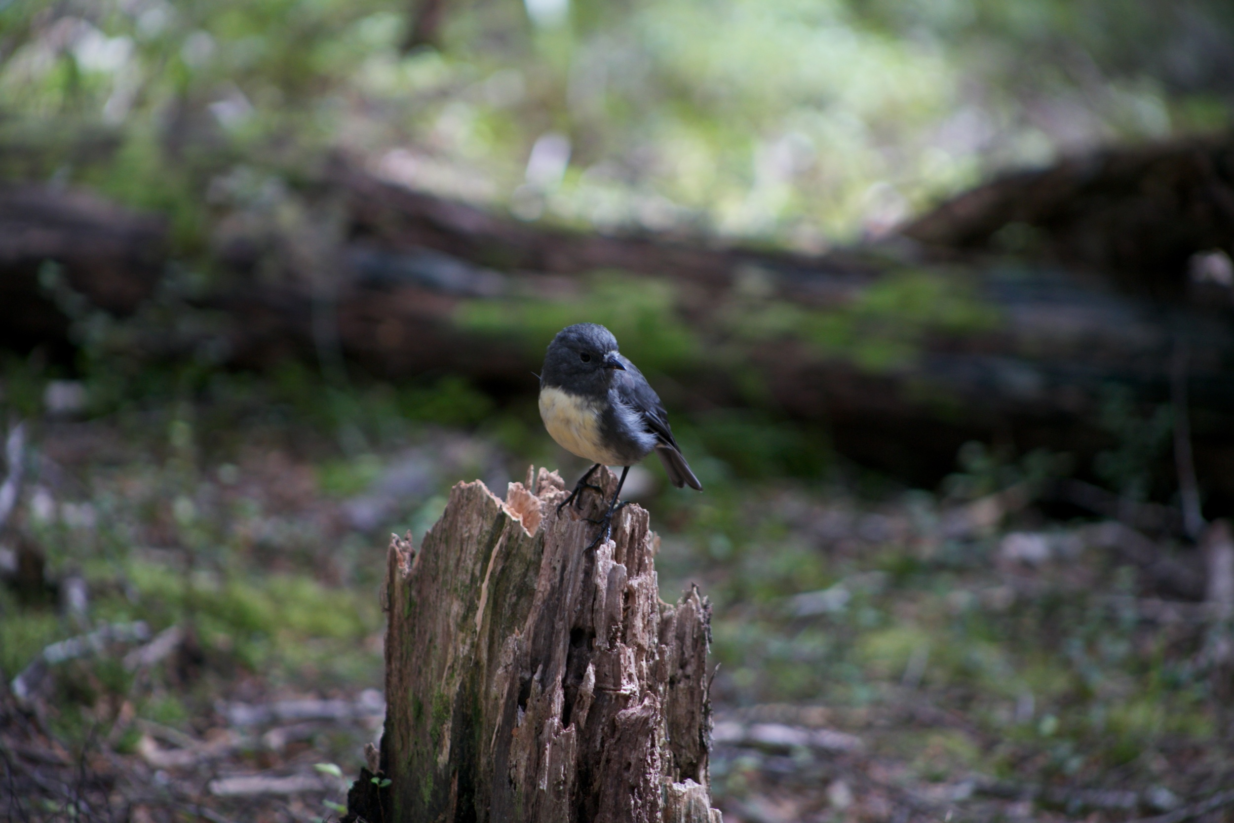 A South Island robin perched on a tree stump, at the Canaan Downs scenic reserve.