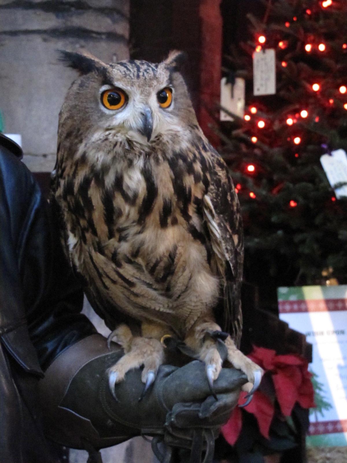 An owl with beautiful orange eyes.