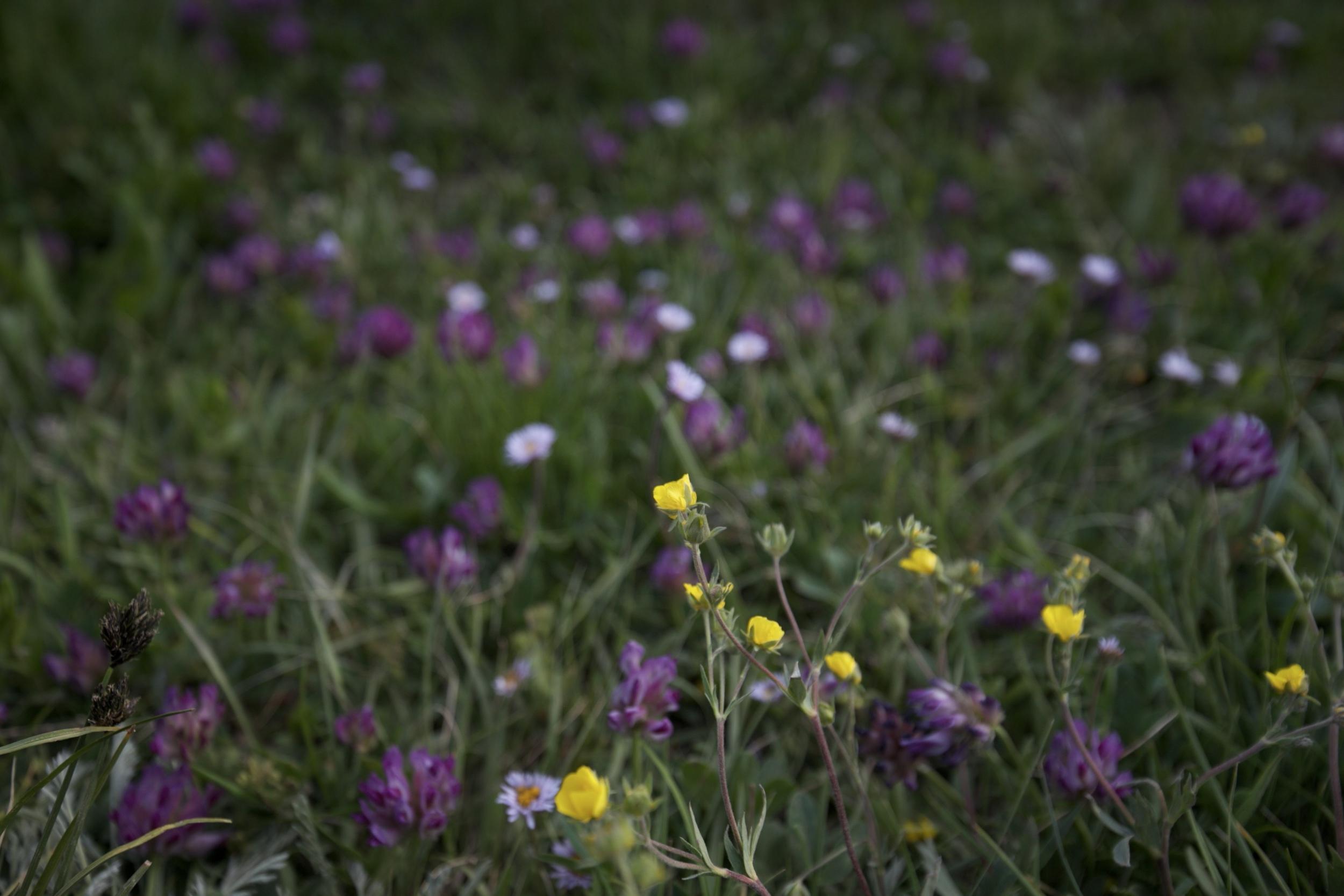 Wild clover and alpine buttercups