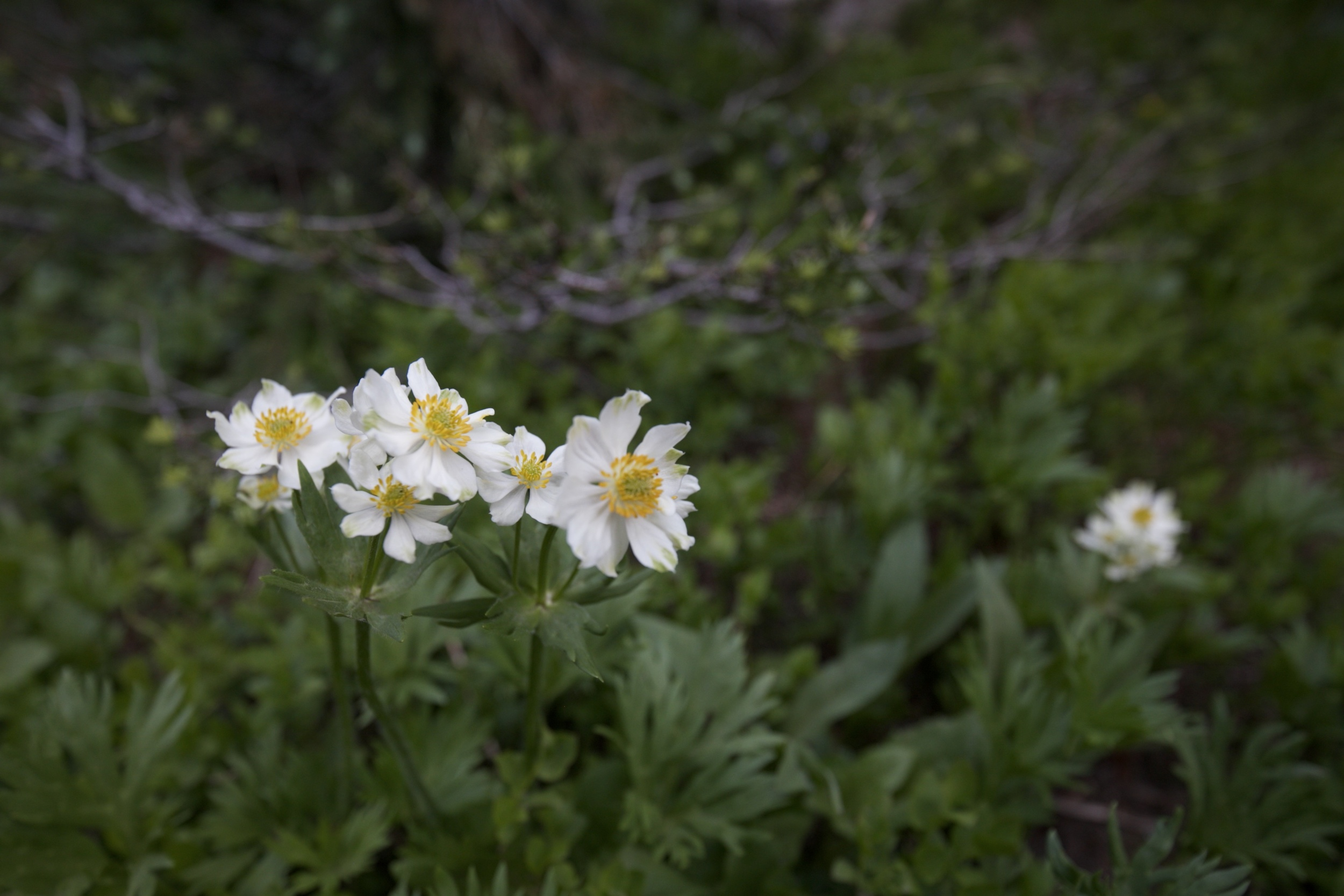 Ranunculus Alpestris - white alpine buttercups.