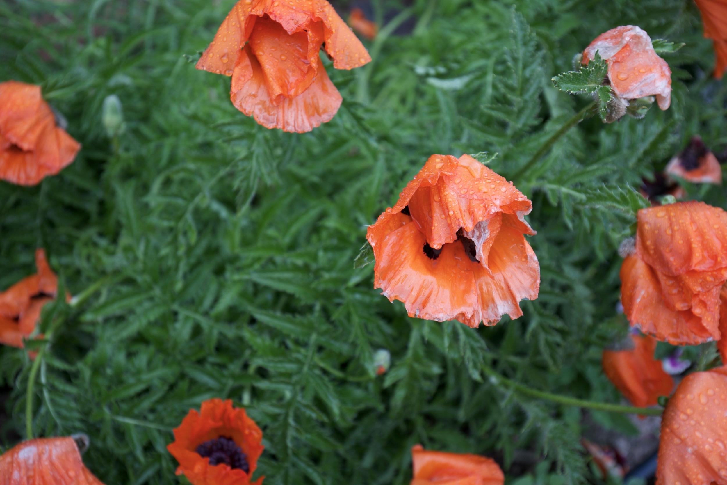 Orange poppies in the rain.