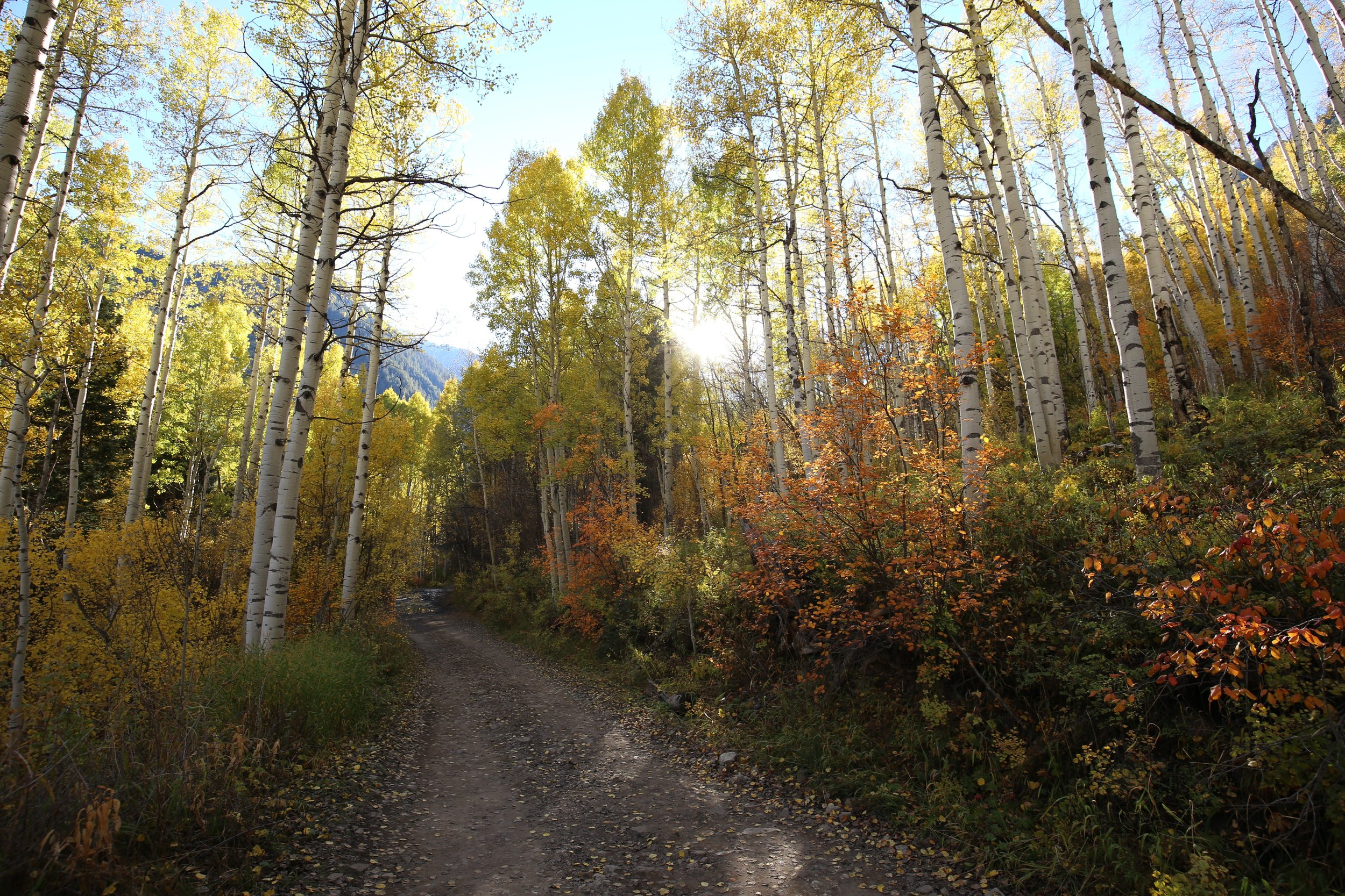 Fall in the the aspen groves of Colorado, at the golden hour.