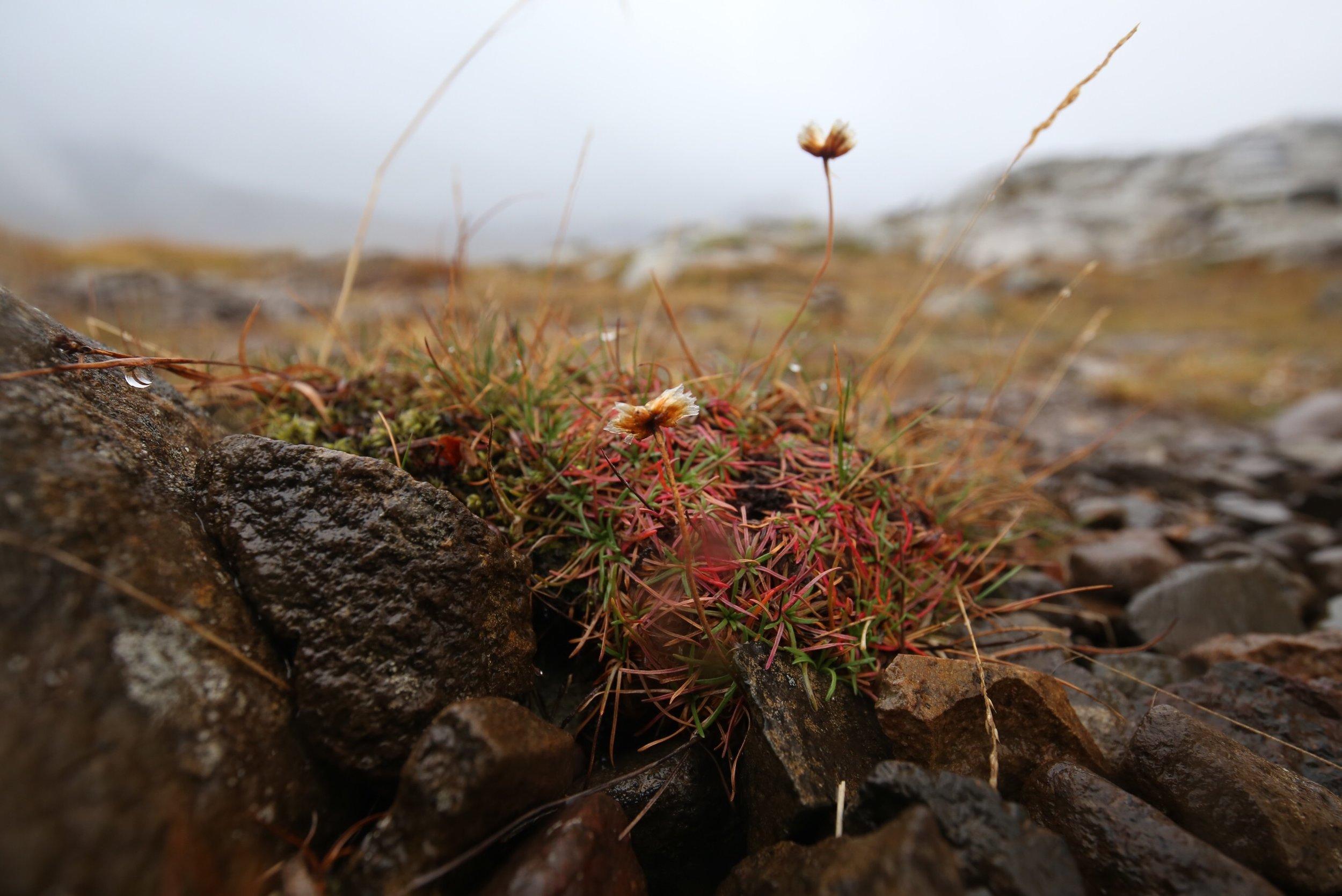 icelandic fairy plants